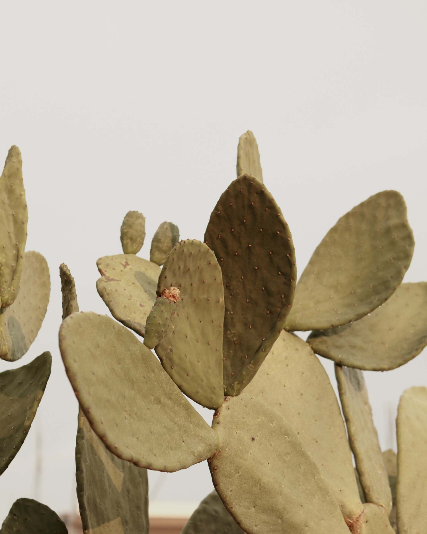 Nopal, 'Prickly Pear', is home to cochineal insects that feed off the juices of the cacti plant. The Benizaa people and cochineal have had a working relationship since the fifteenth century