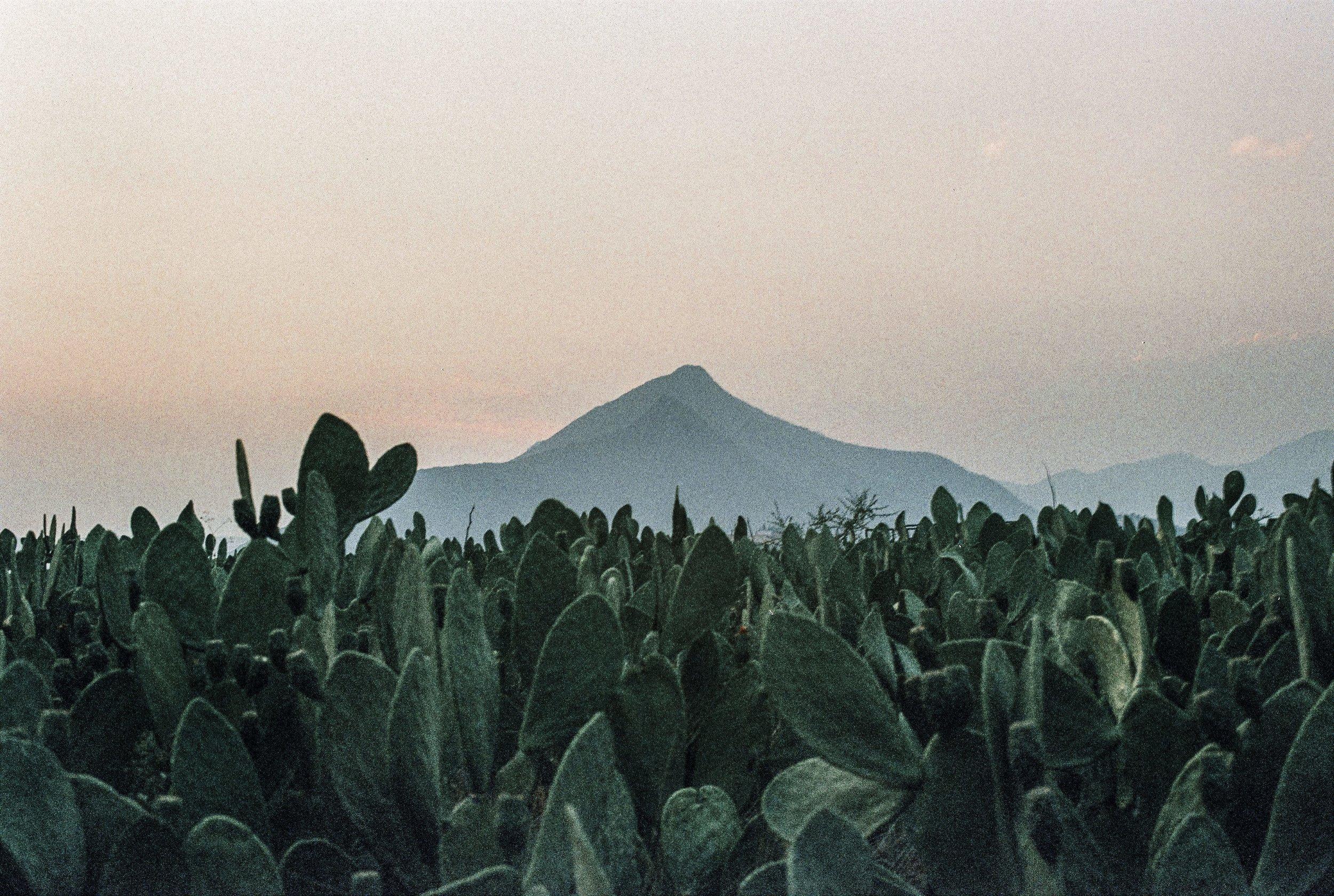 Picacho Cactus 12.12.55.jpg
