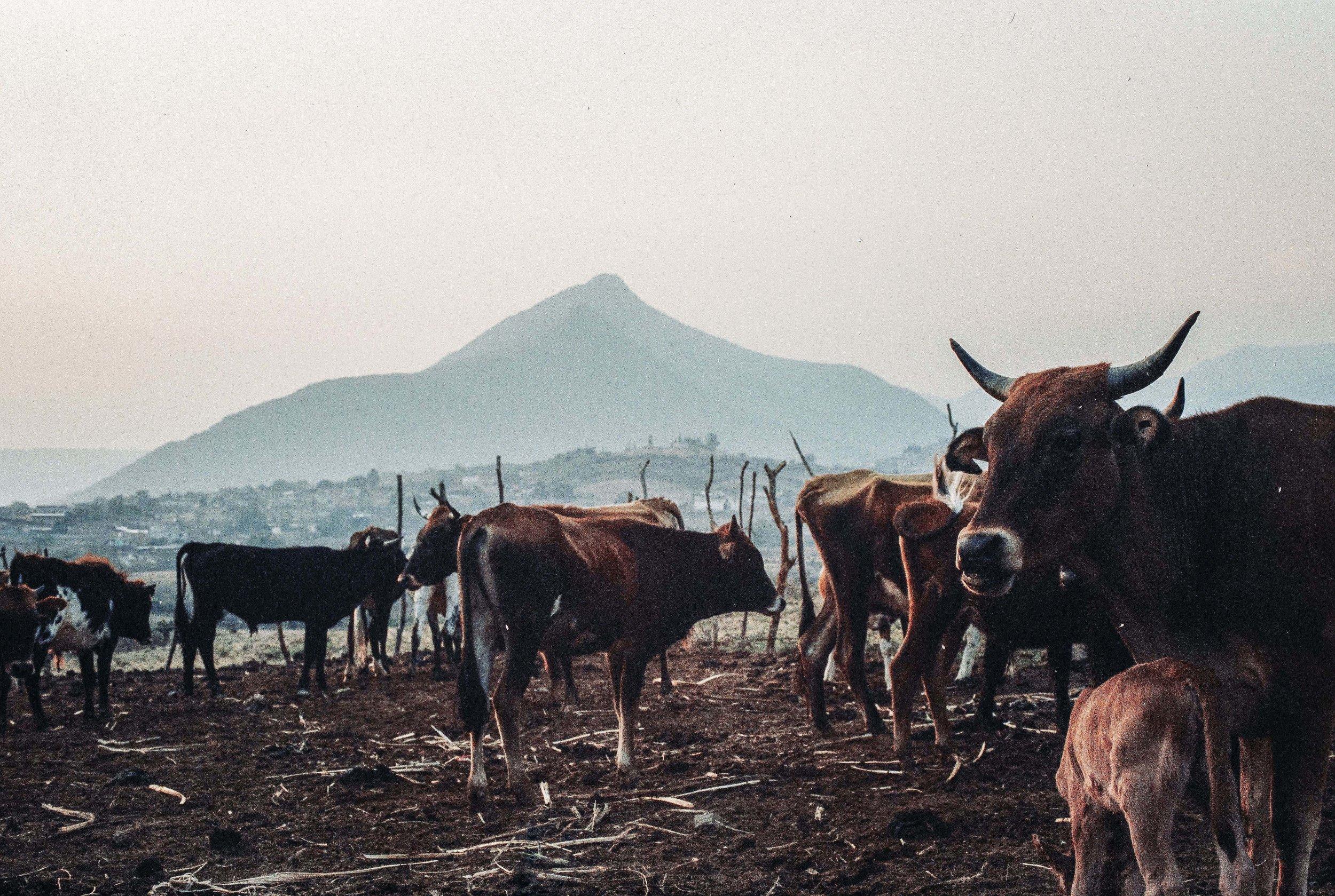 Cows Picacho.jpg