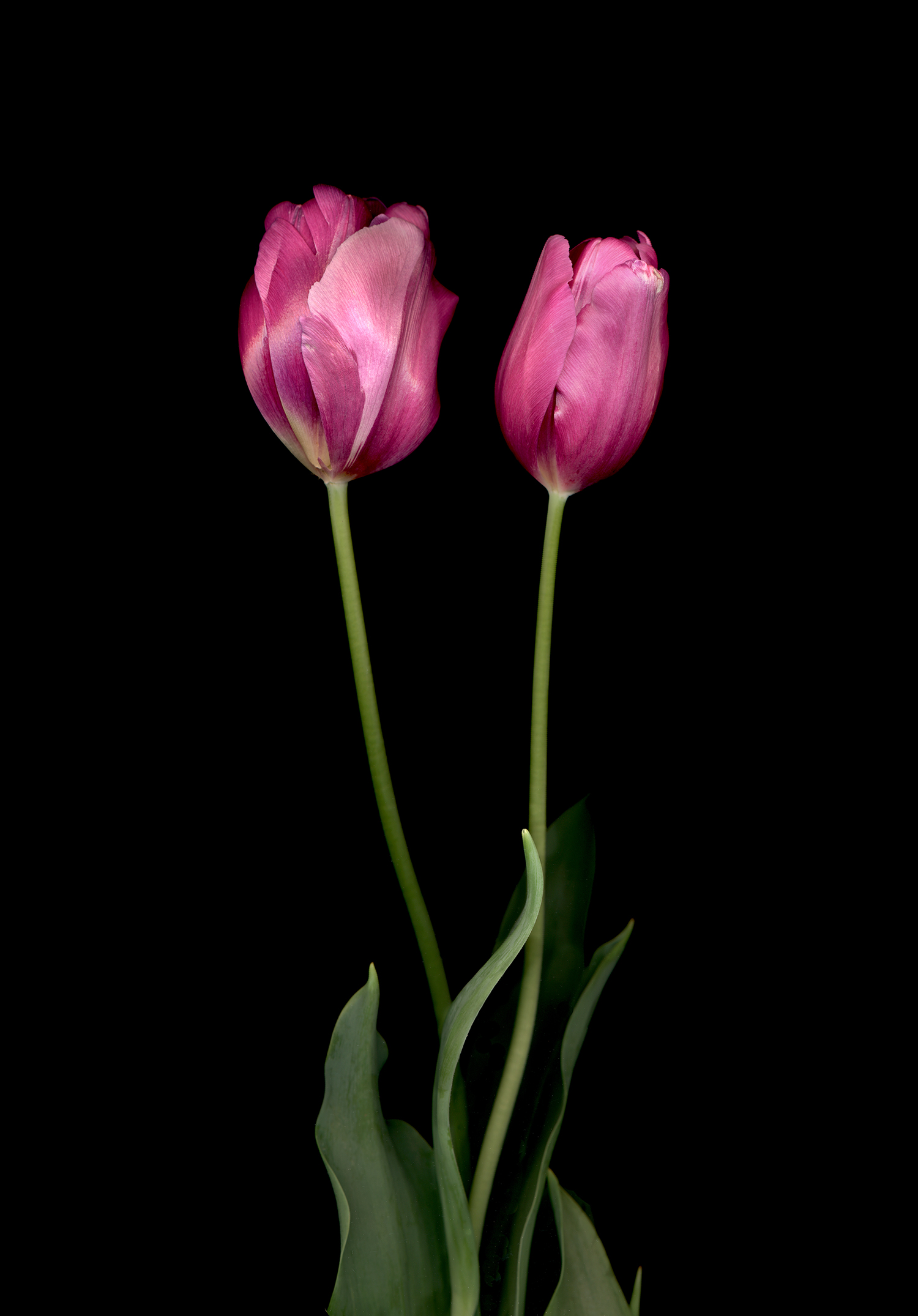 spring_tulips.jpg