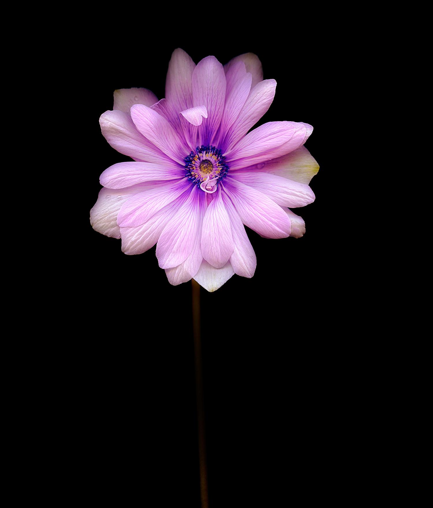 double-anemone.jpg
