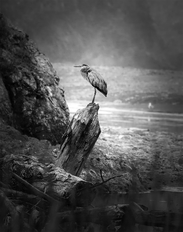 blue heron b&w-flat.jpg