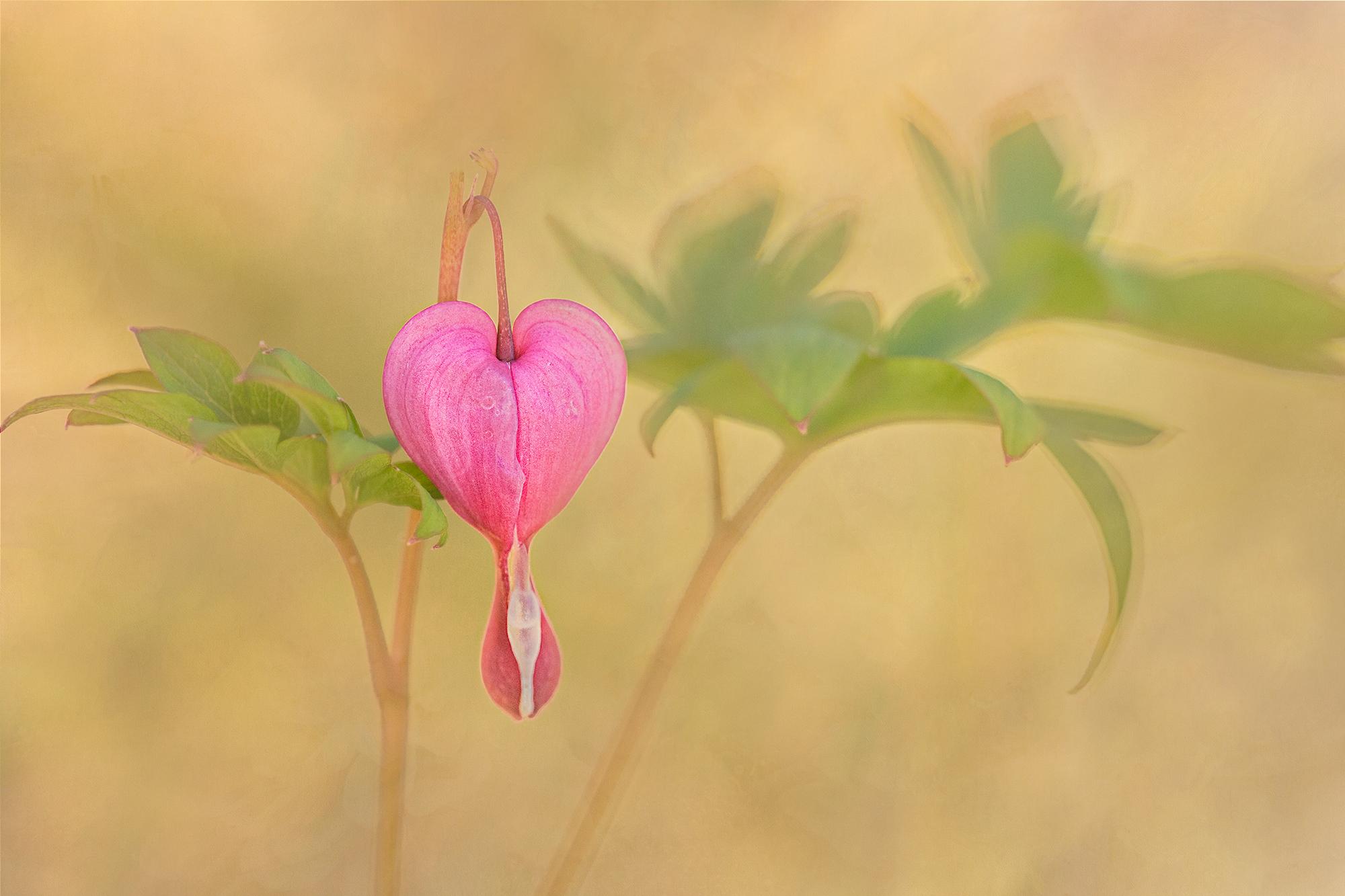 bleeding heart blosson.jpg