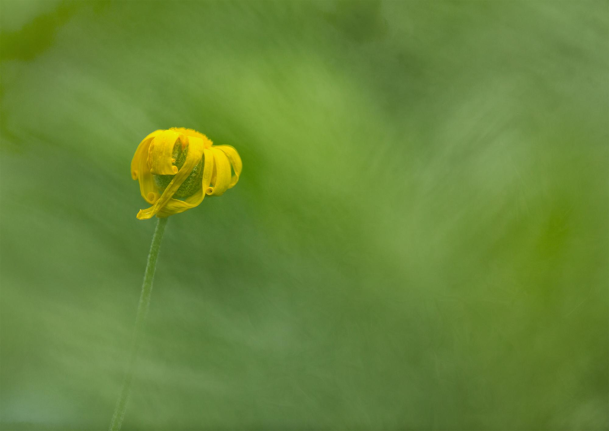 daisy shoot thru.jpg