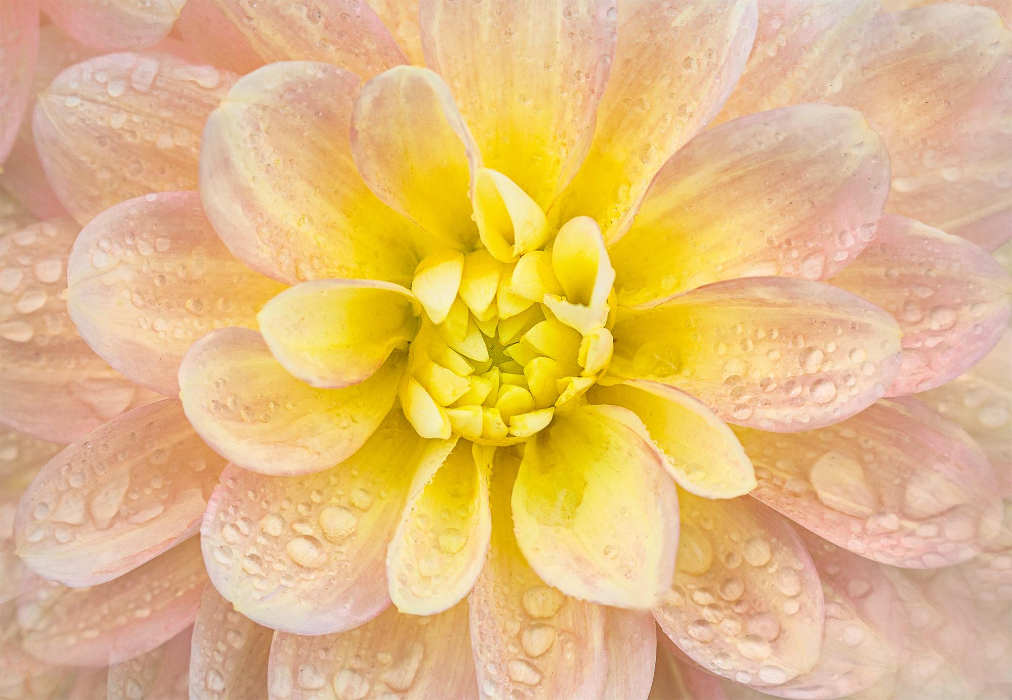 dahlia petals and raindrops.jpg