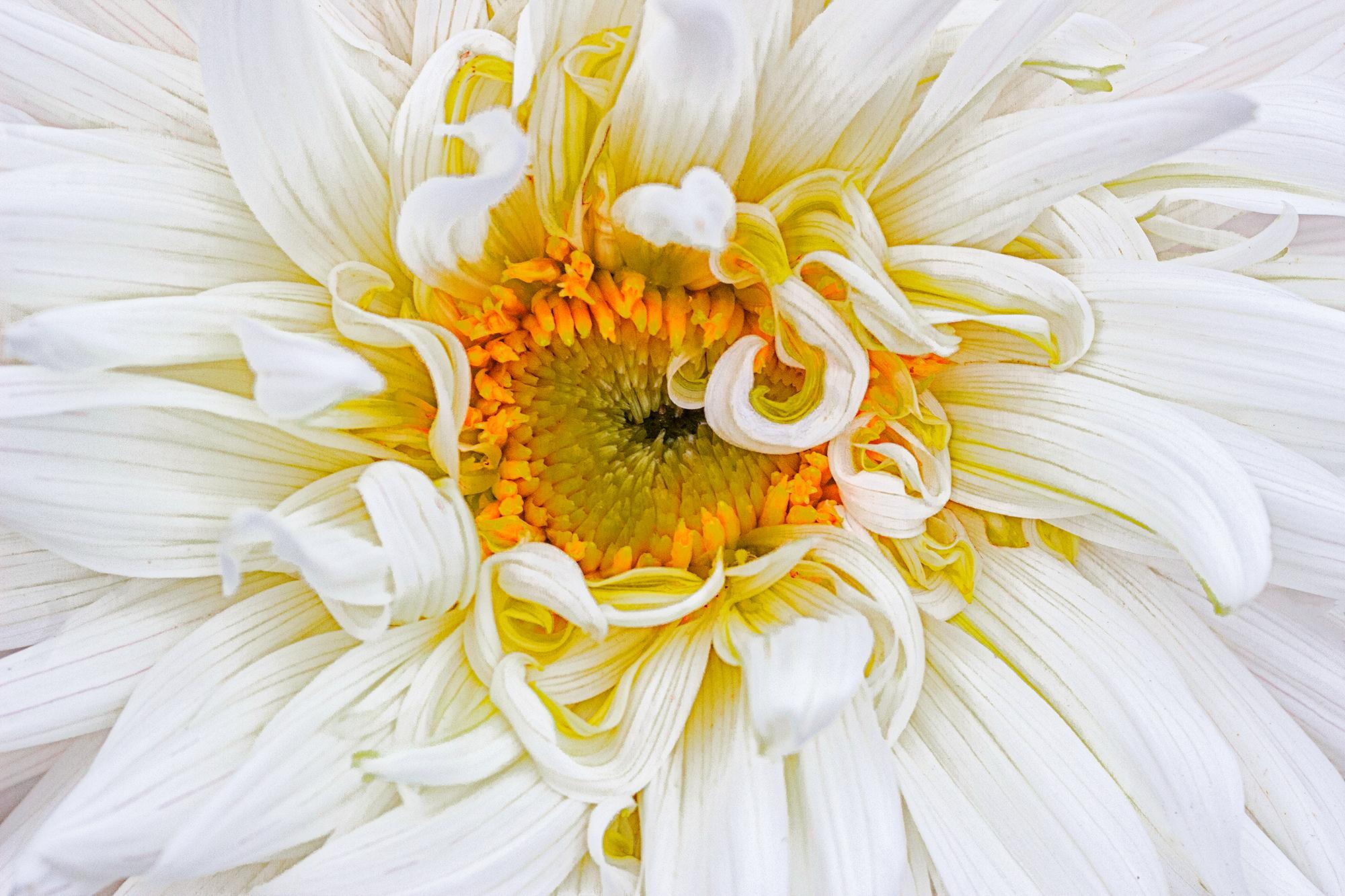 White dahlia with curls.jpg