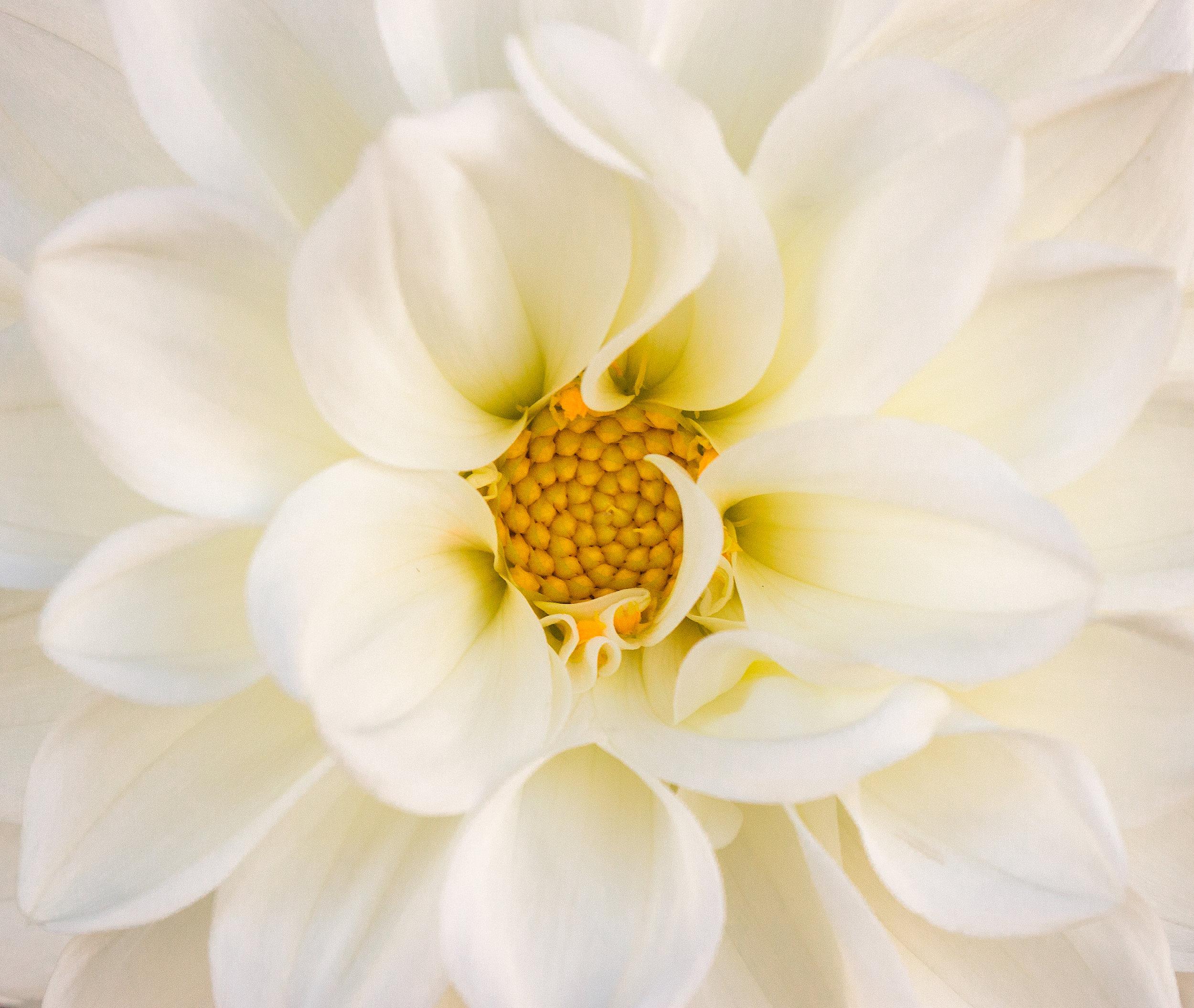 white dahlia2.jpg