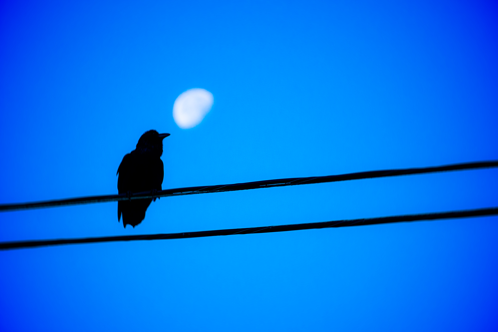 Raven on a wire.jpg