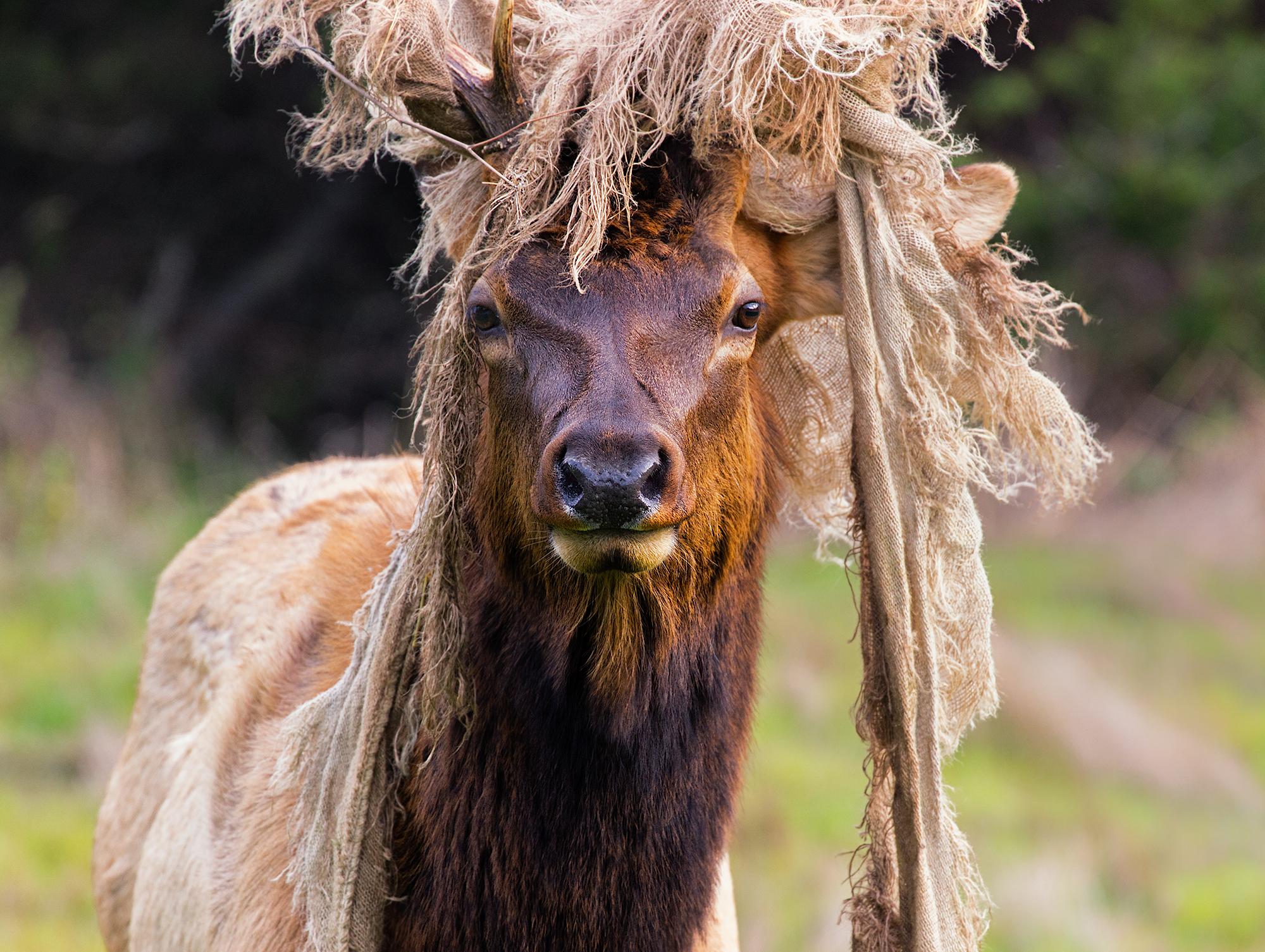 Elk's Elk.jpg
