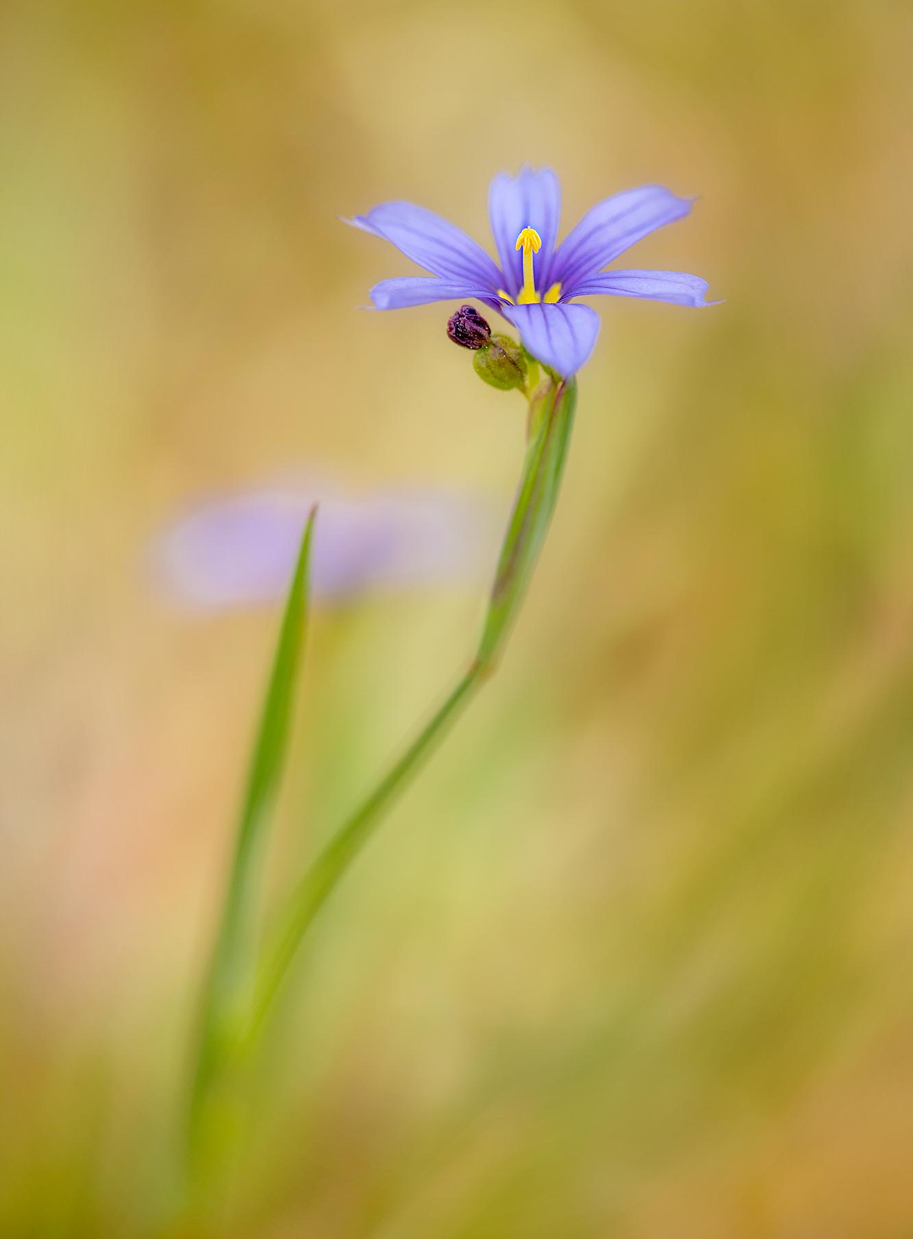 blue eyed grass2.jpg
