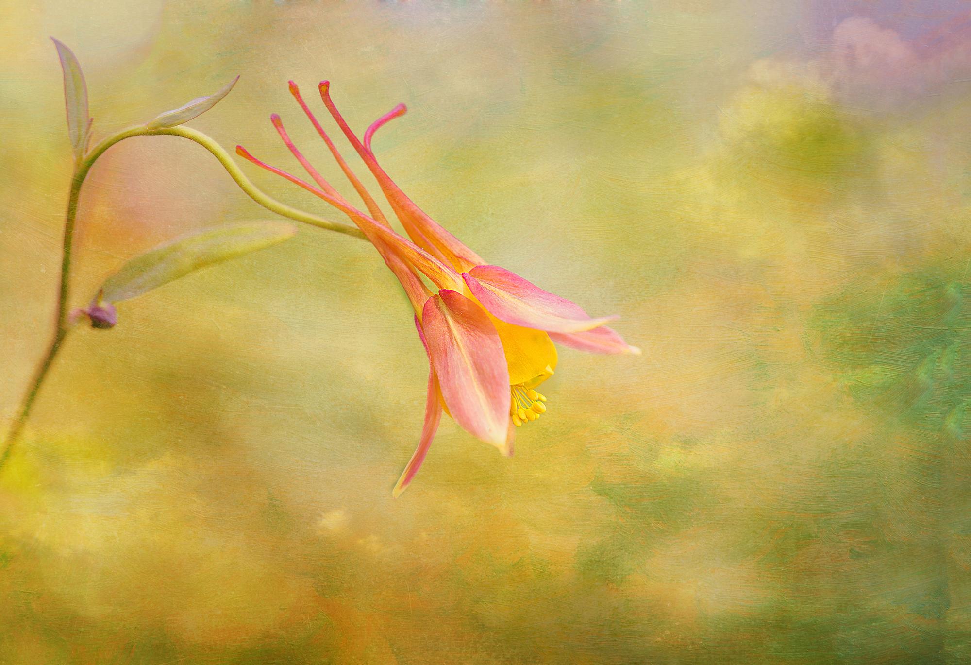 columbine blossom-12x18edit.jpg