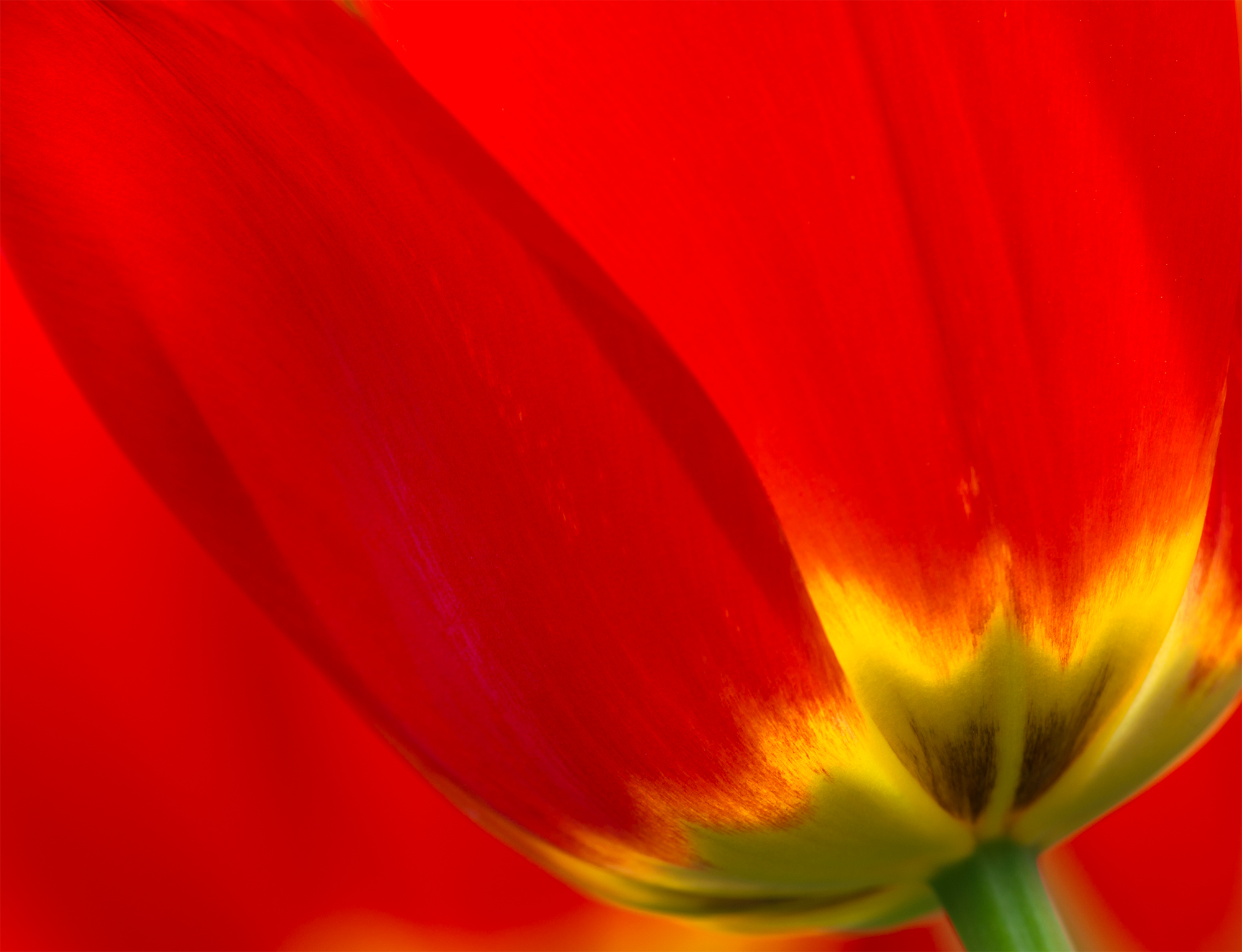 tulip-fire.jpg