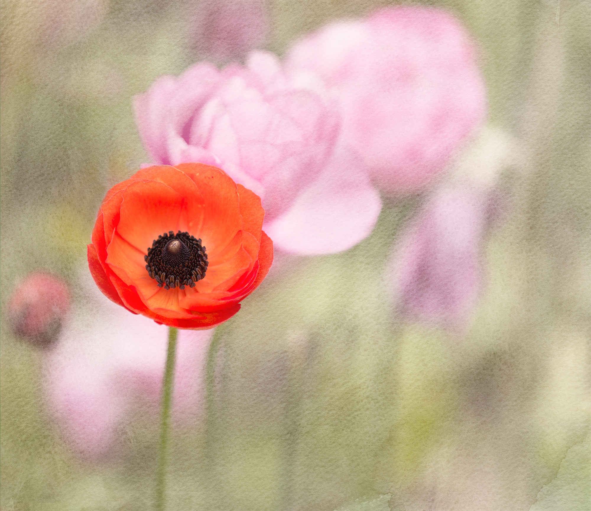 Ranunculus morning-desat17x20.jpg