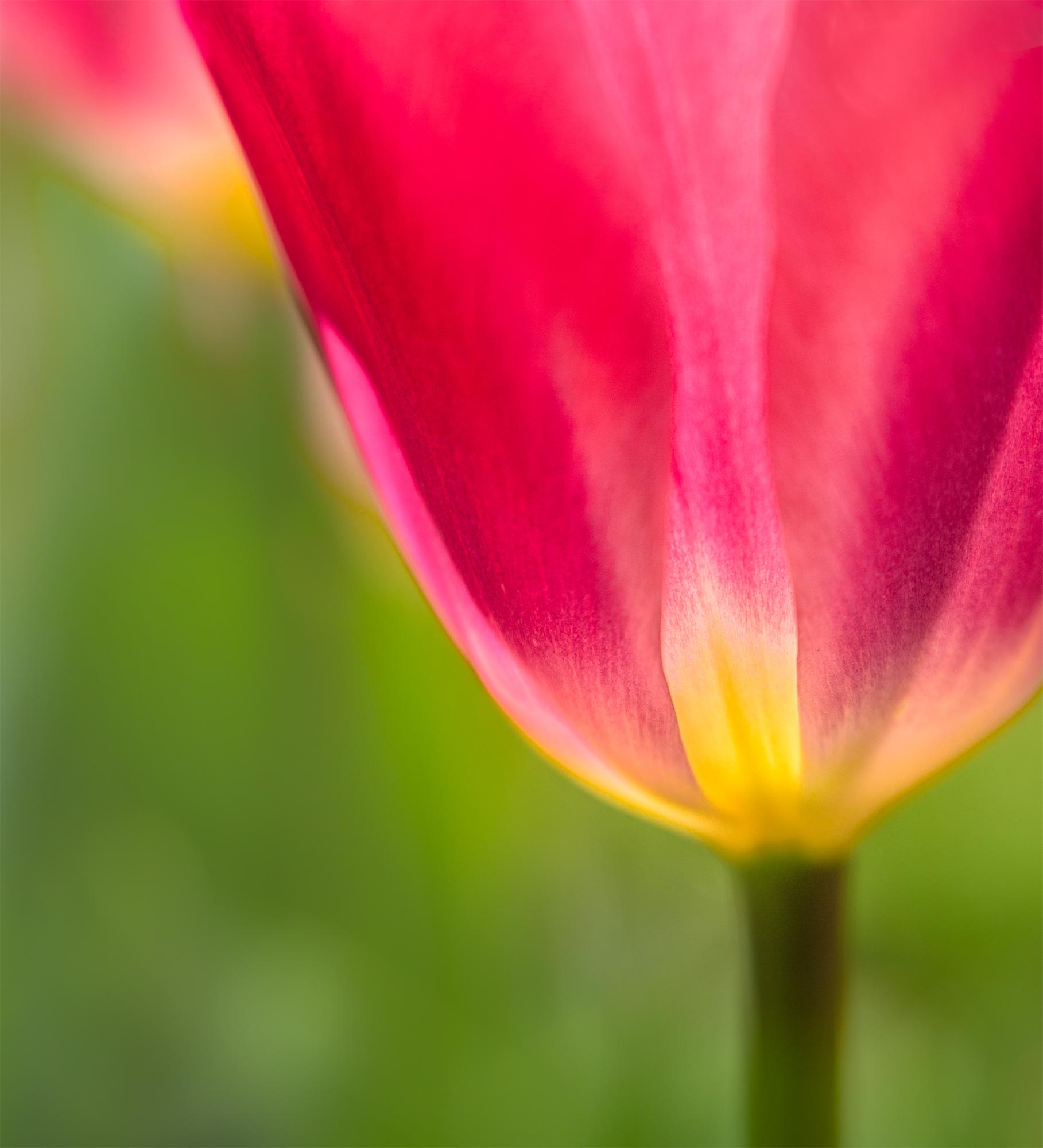 Tulip glow3-edit.jpg