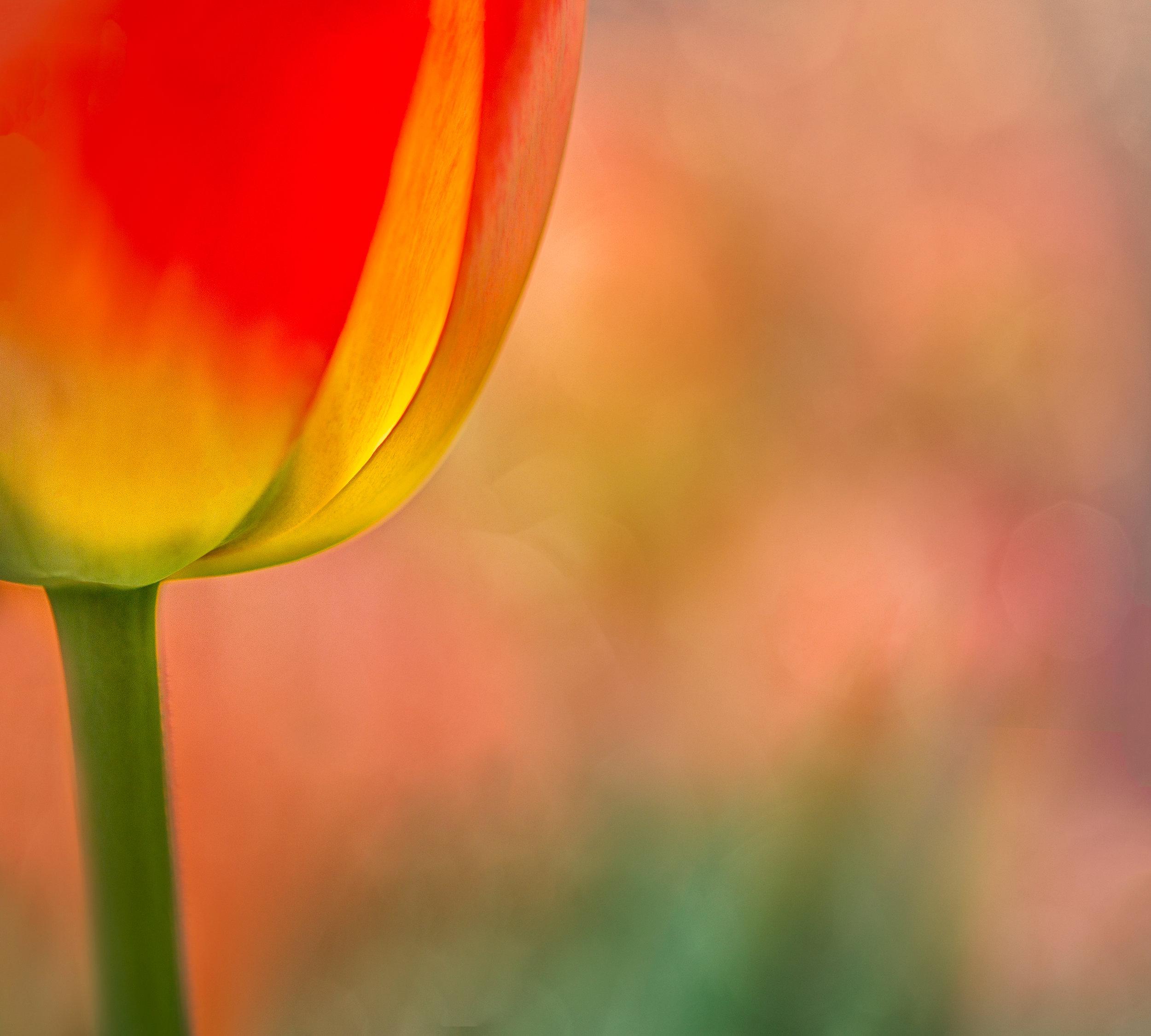 tulip glow2-edit.jpg