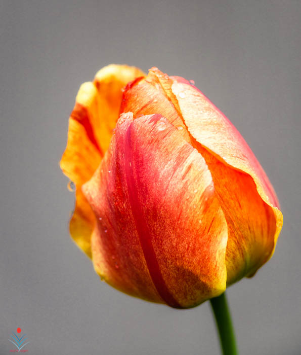 Lone Raining Morning Tulip.jpg