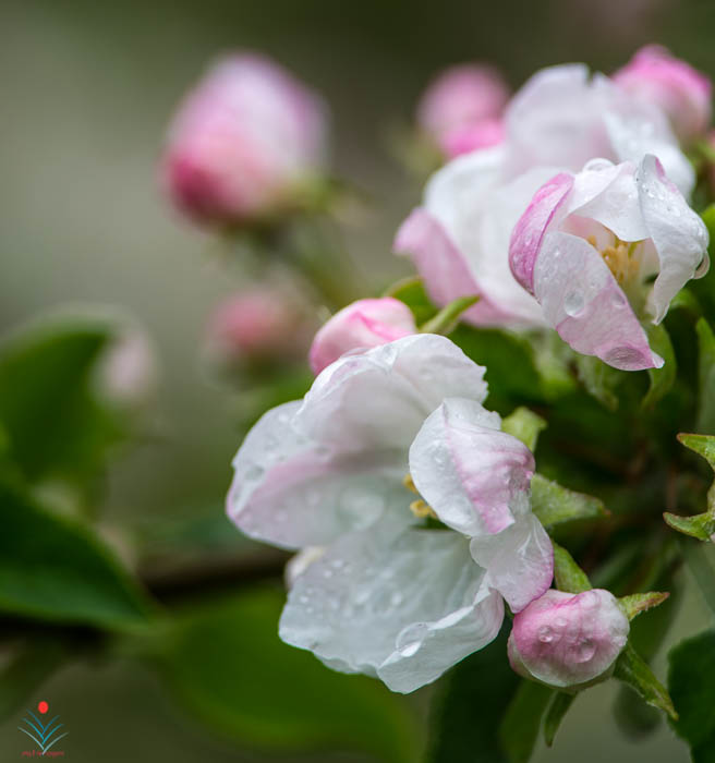 Misty Apple Blossoms.jpg
