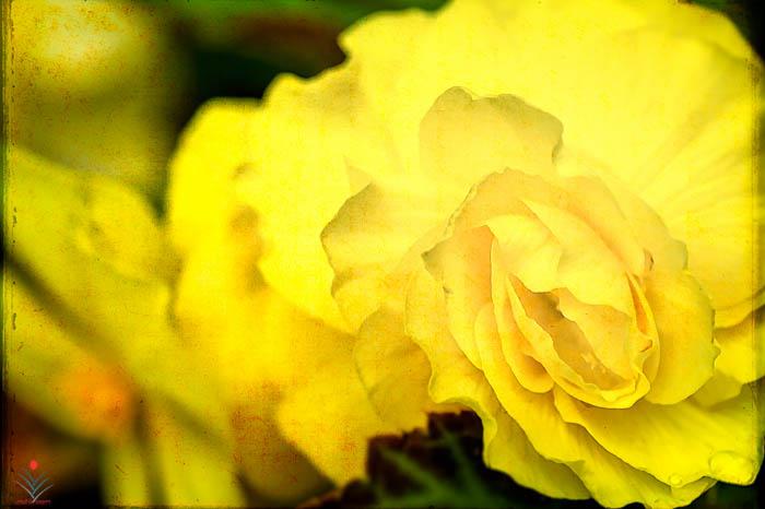Yellow Begonia 2