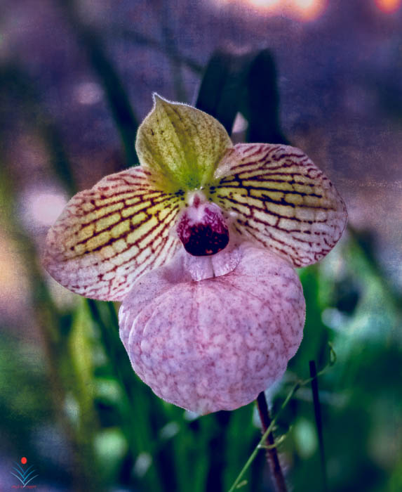 Pitcher Orchid in Lavender