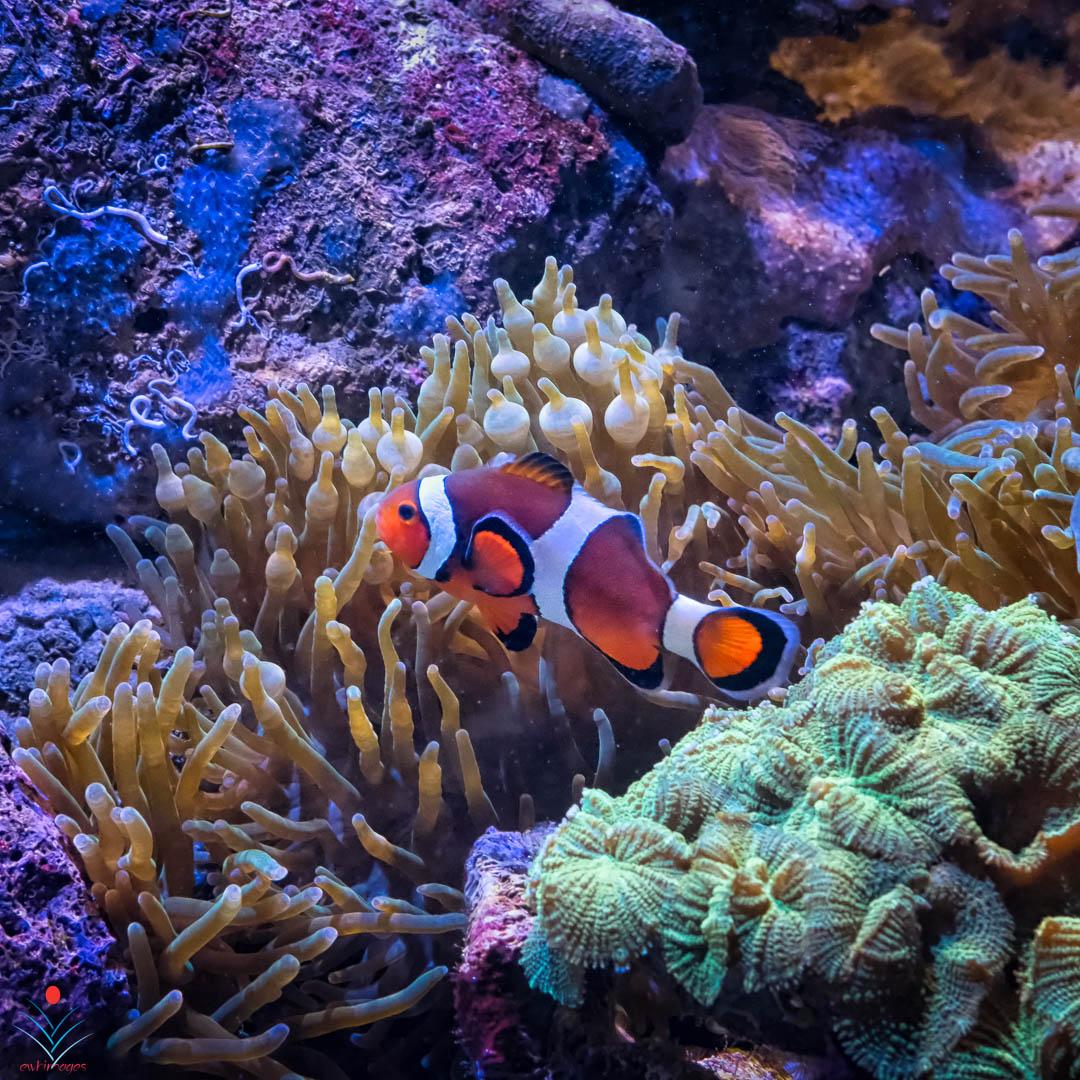 Clown Fish - Boston Aquarium.jpg