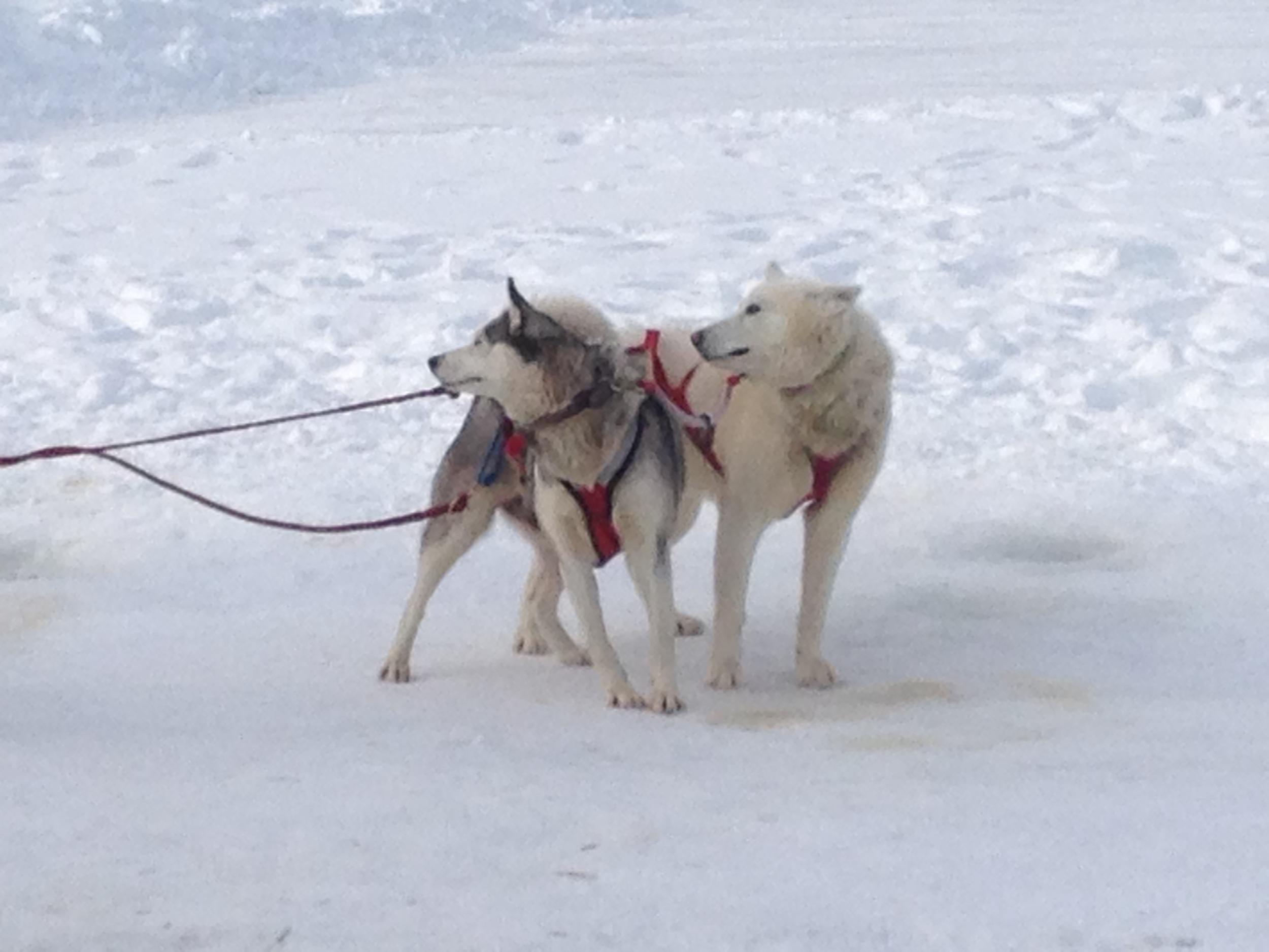 Sled huskies on Mirror Lake