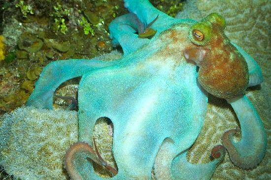 Octopus on night dive at Turtle Reef