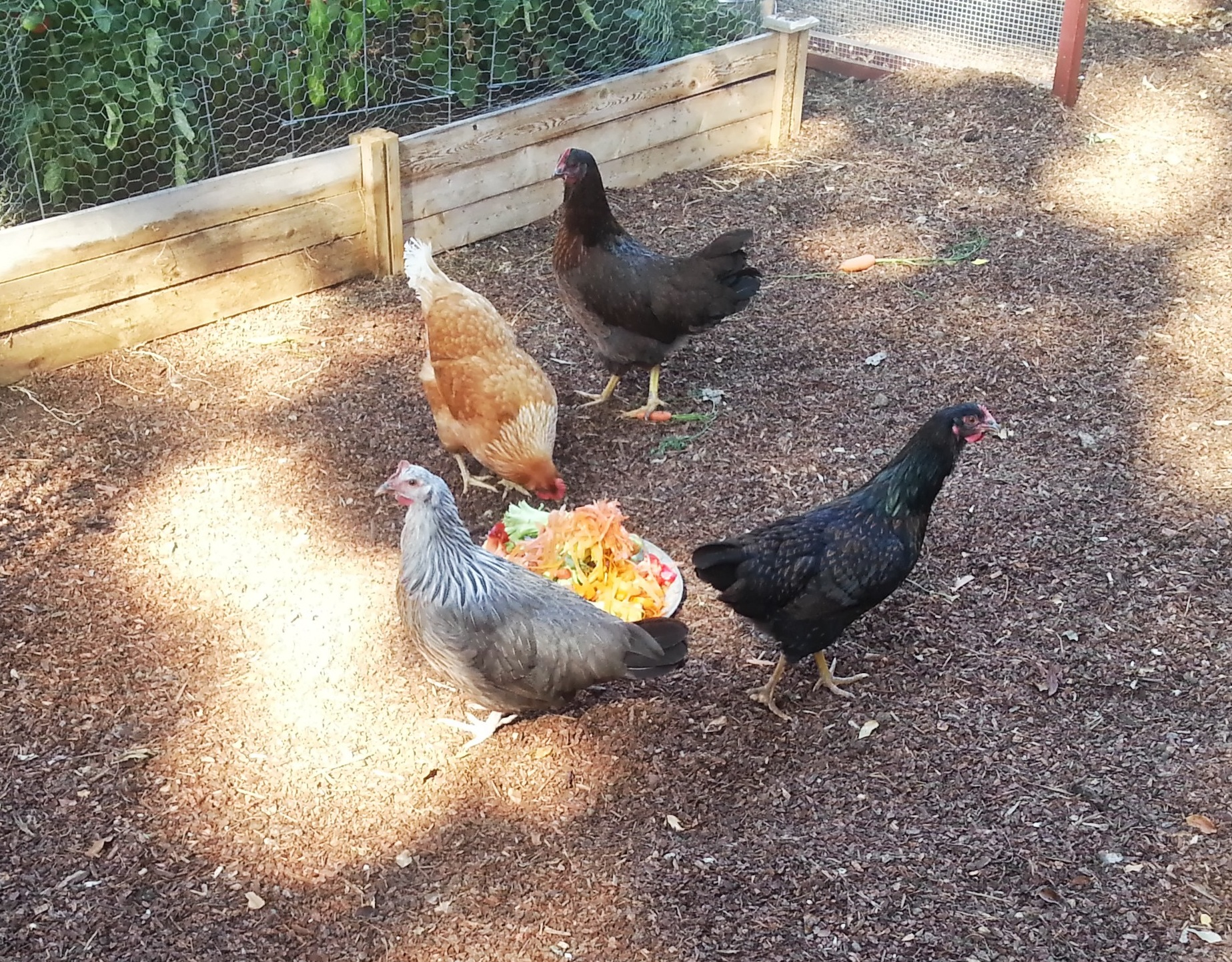 CHICKENS! We get at least one egg per day.