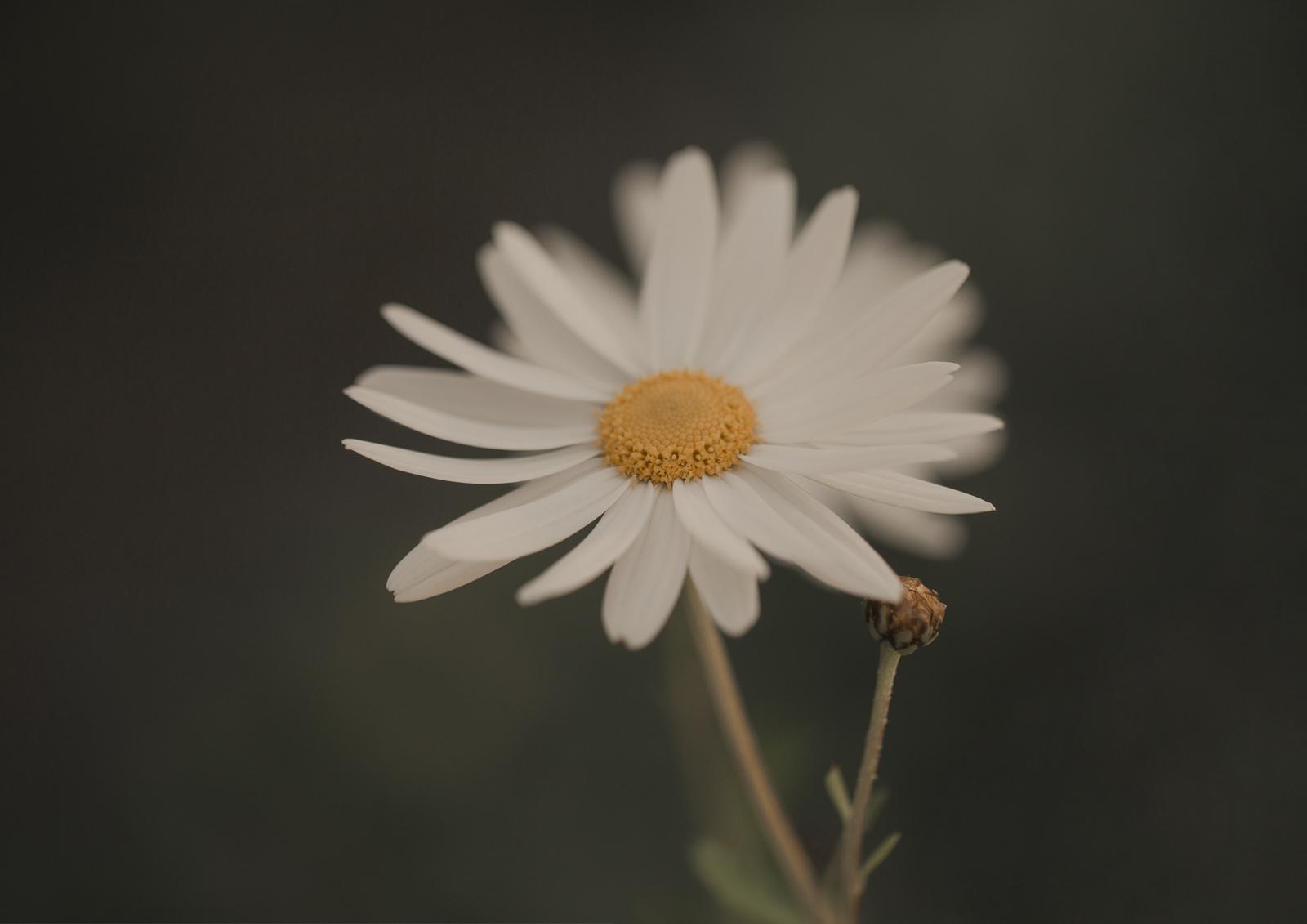 Daisy flower