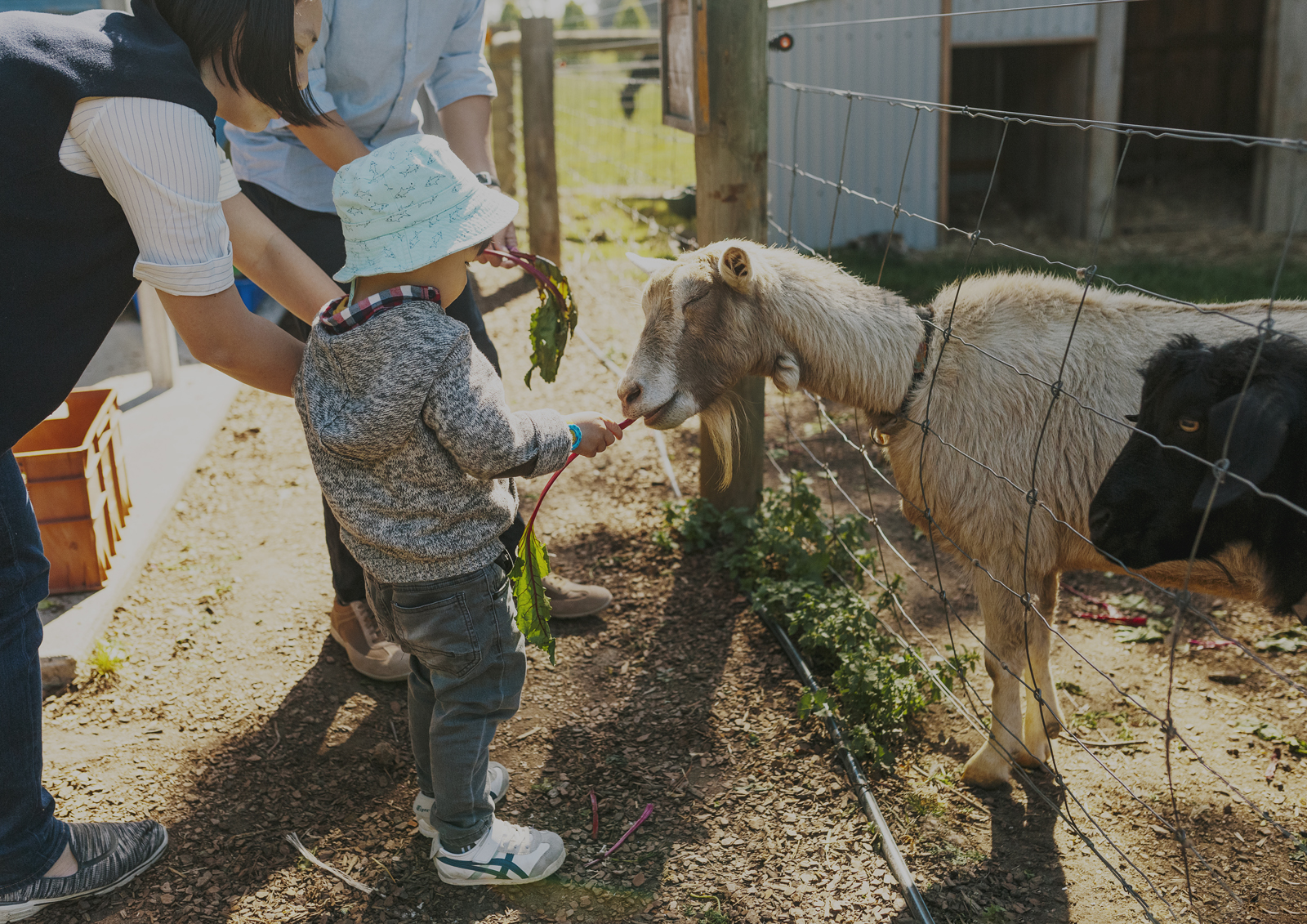 Feeding the goats at Benton Rise Farm
