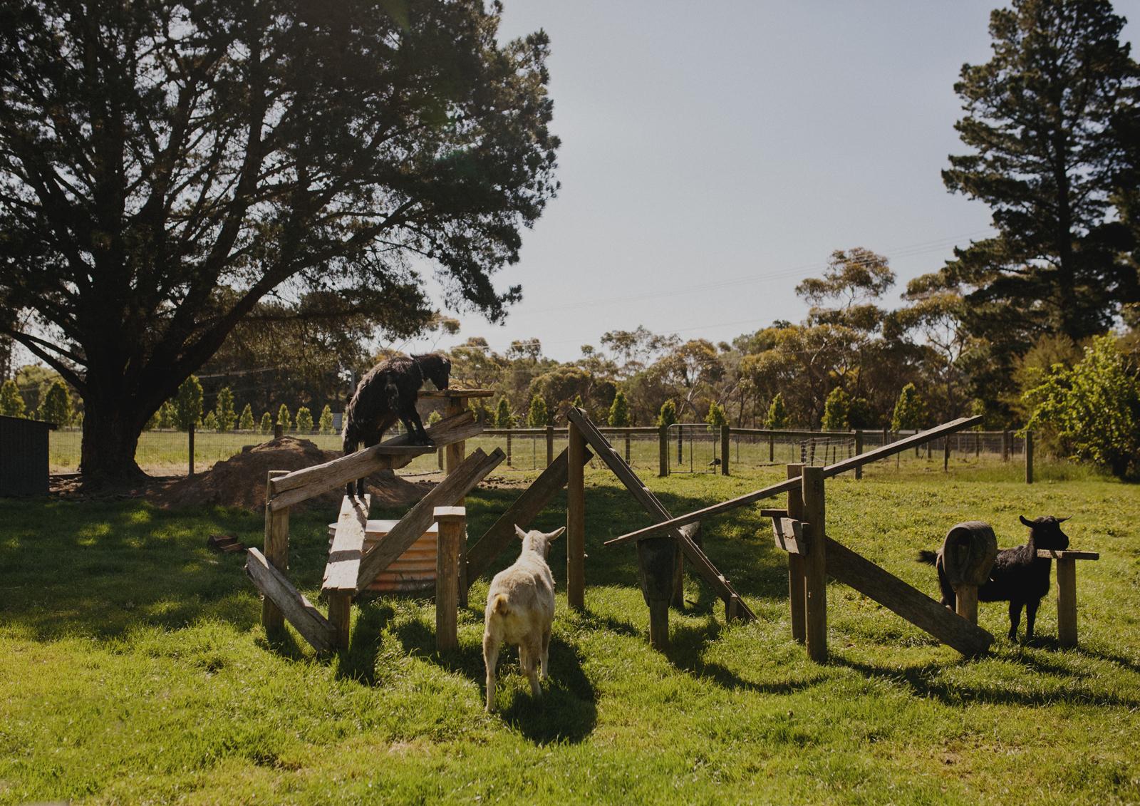 The goats at Benton Rise Farm on the Mornington Peninsula