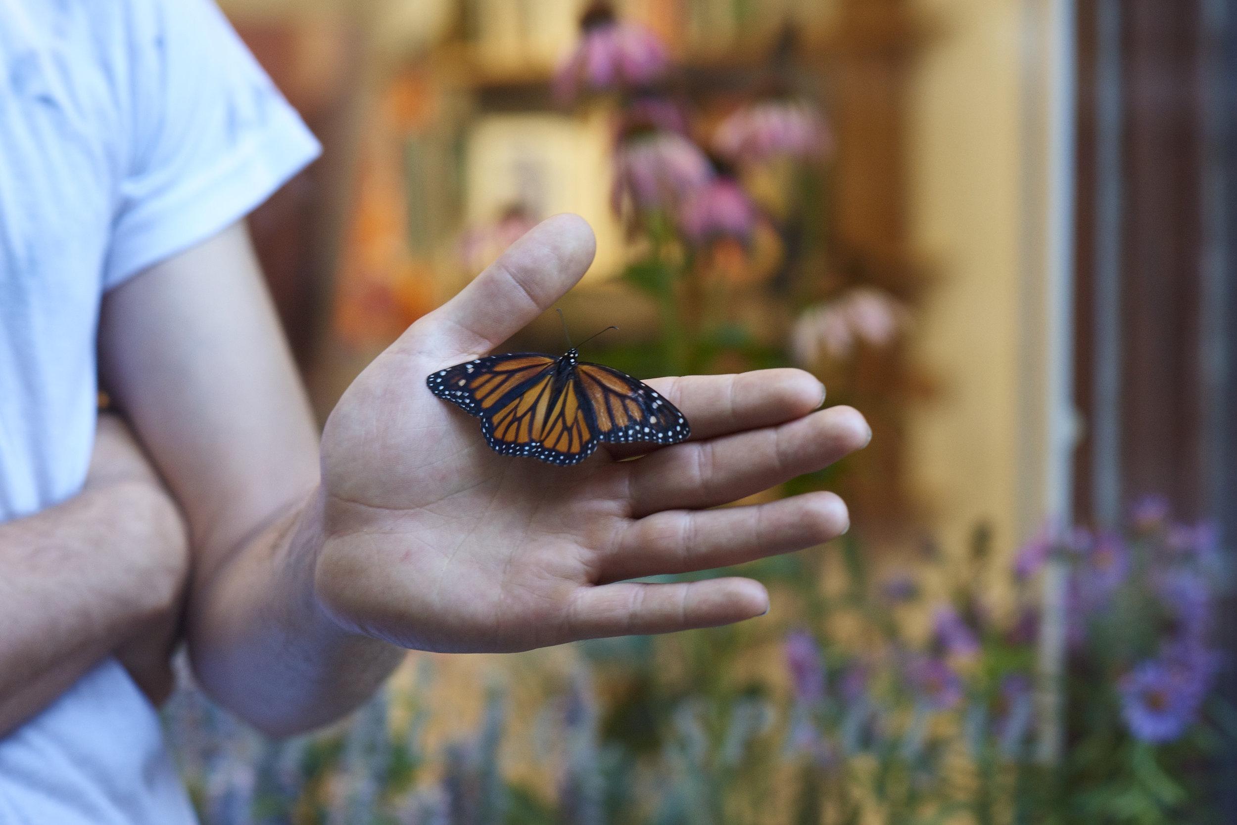 (Monarch)Danaus plexippus