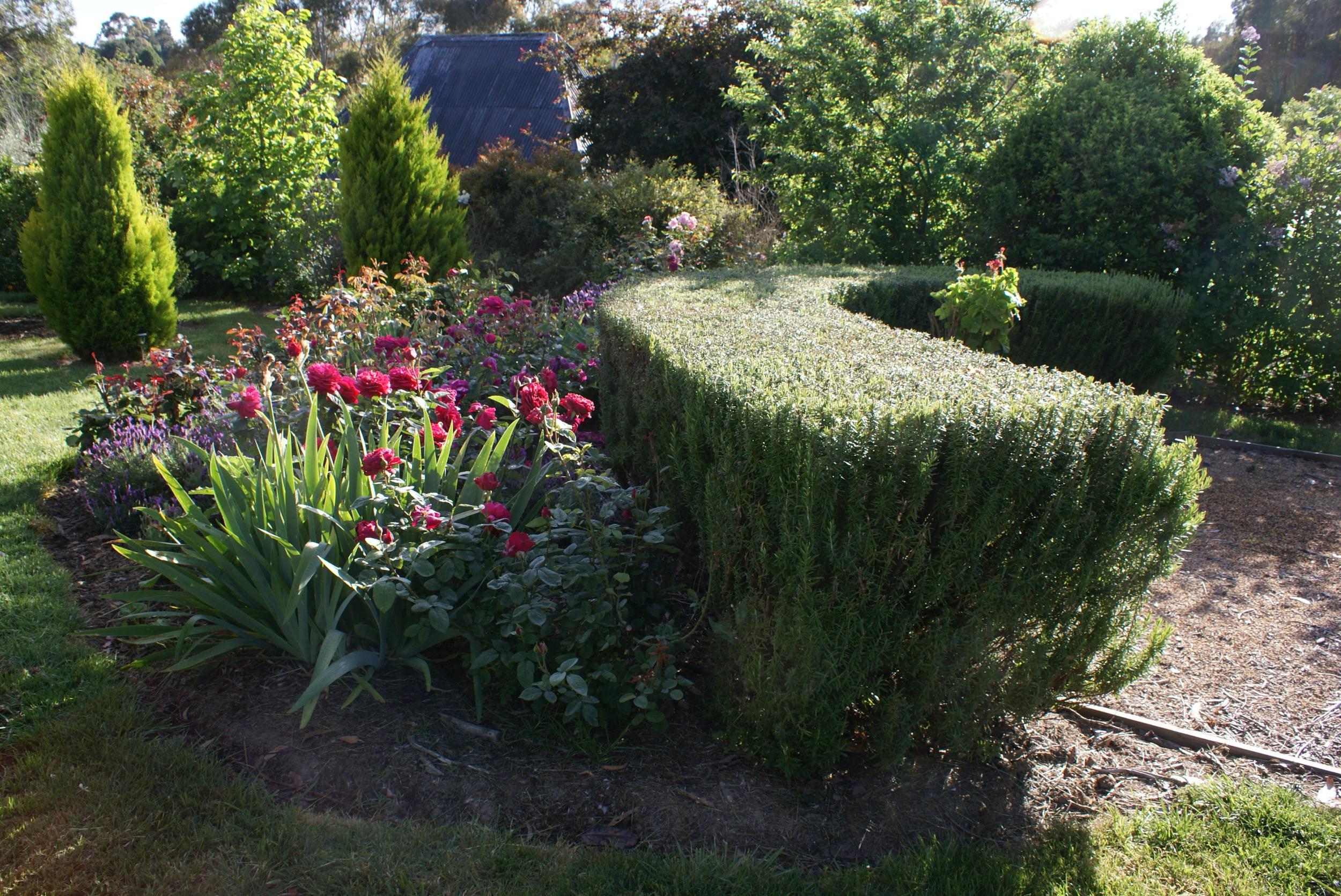 teuchrium hedge