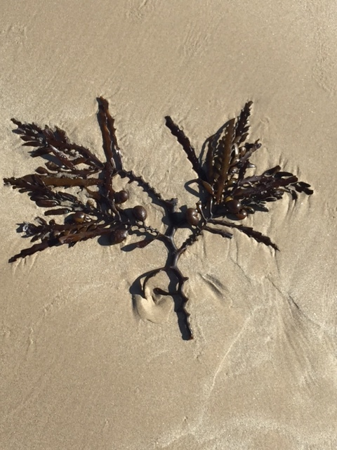 Brown Seaweed Supplement  Benefits Side Effects  FAQ php