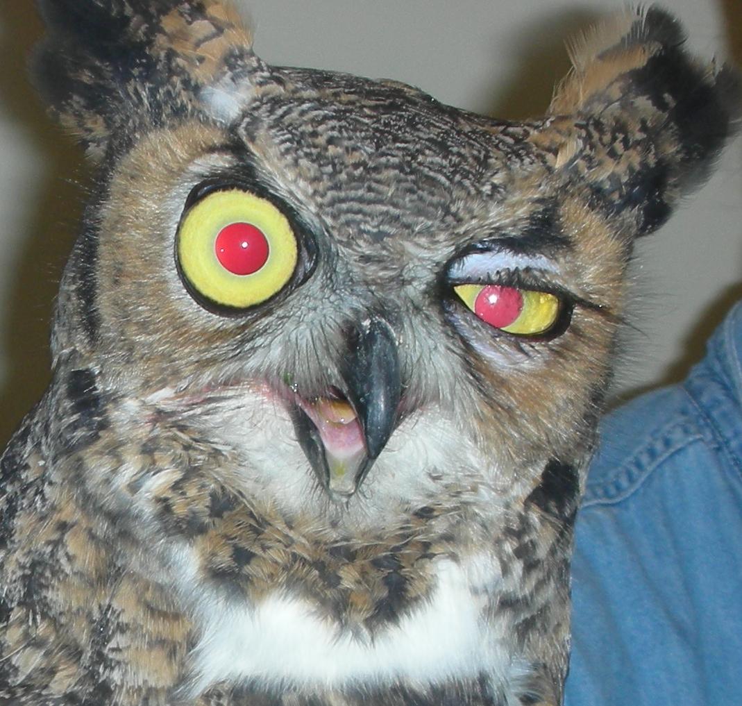Great Horned Owl - indolent ulcer