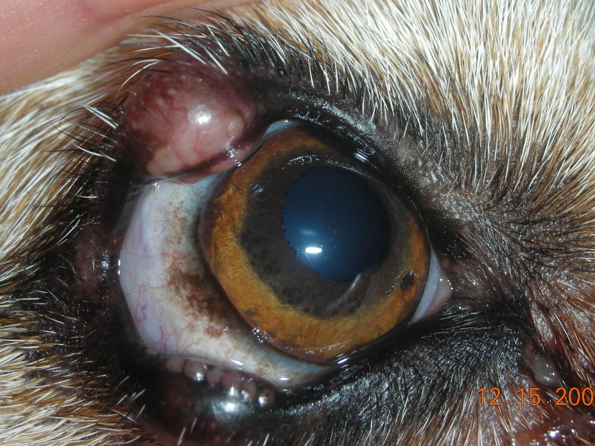 Canine Granulomatous Blepharitis