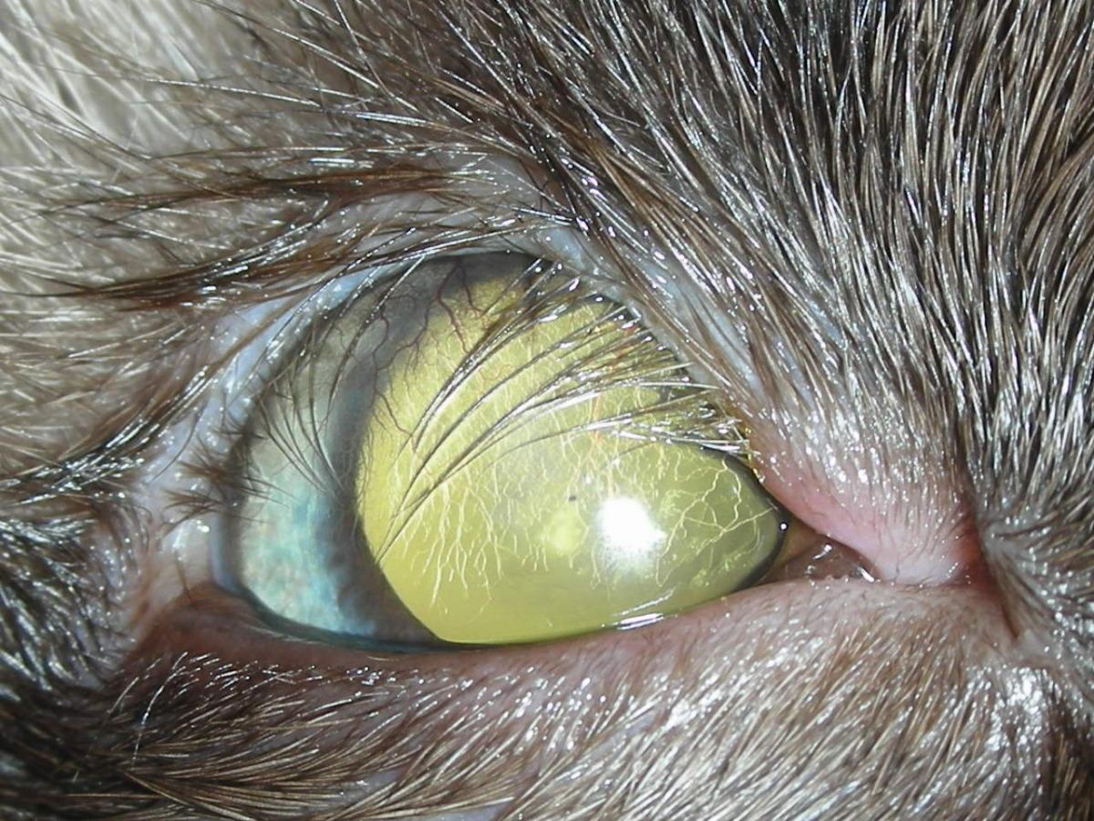 Feline Eyelid Agenesis