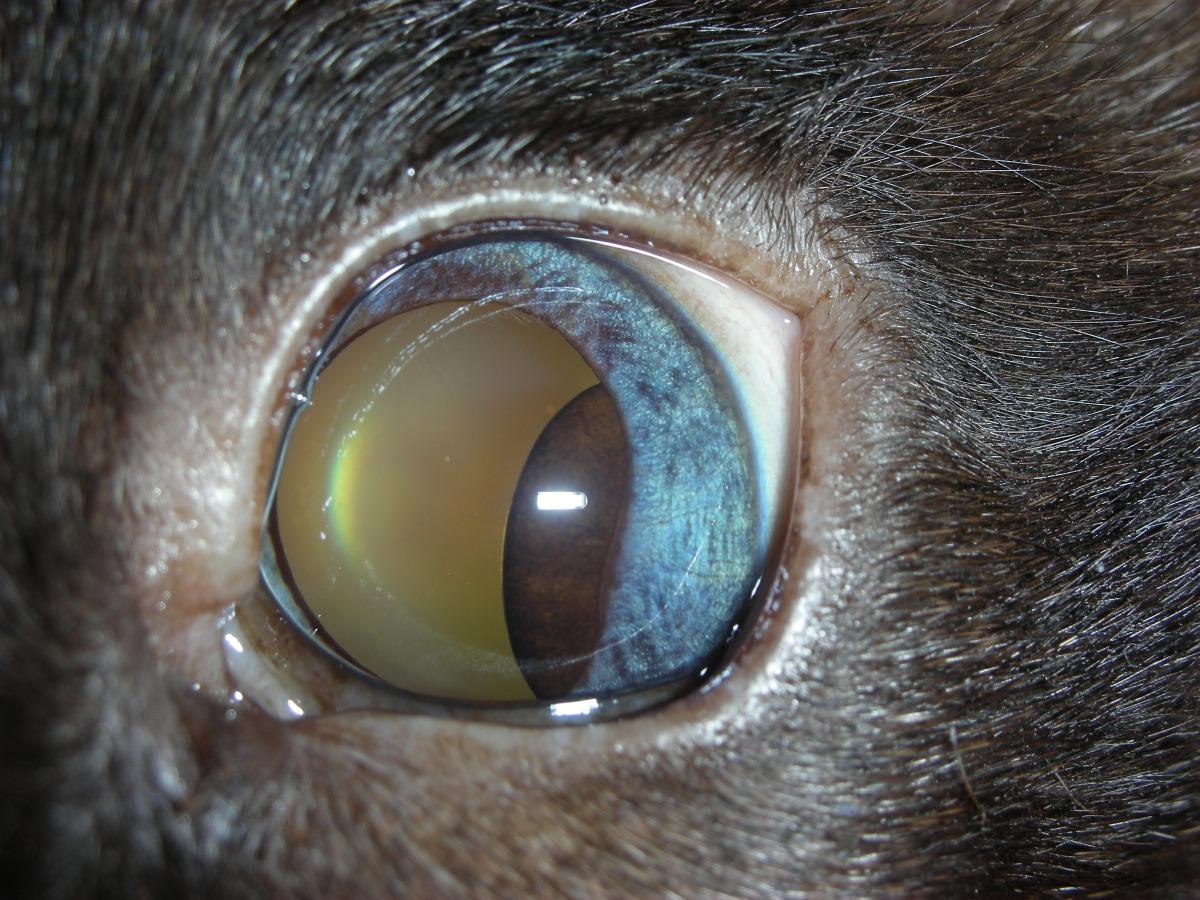 Uveal Cyst - feline