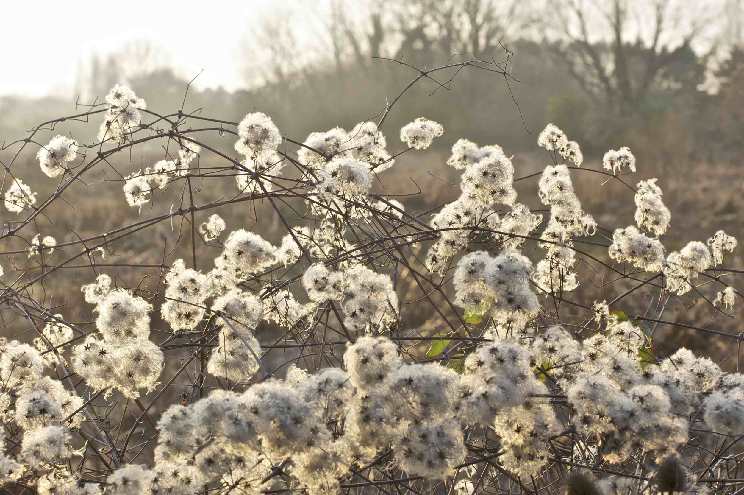 Wild Clematis in setting sun