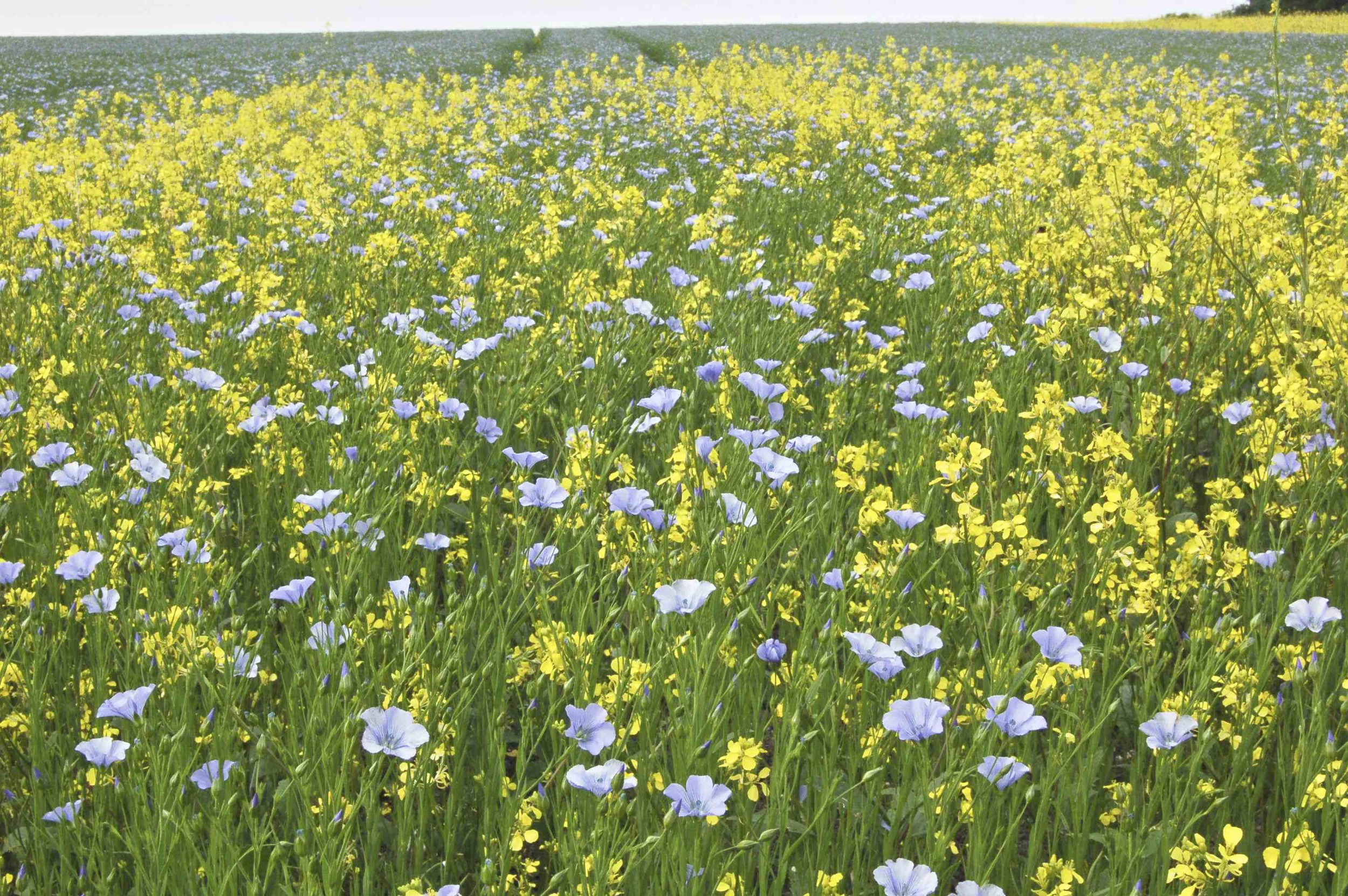 Linseed Field with rogue rape