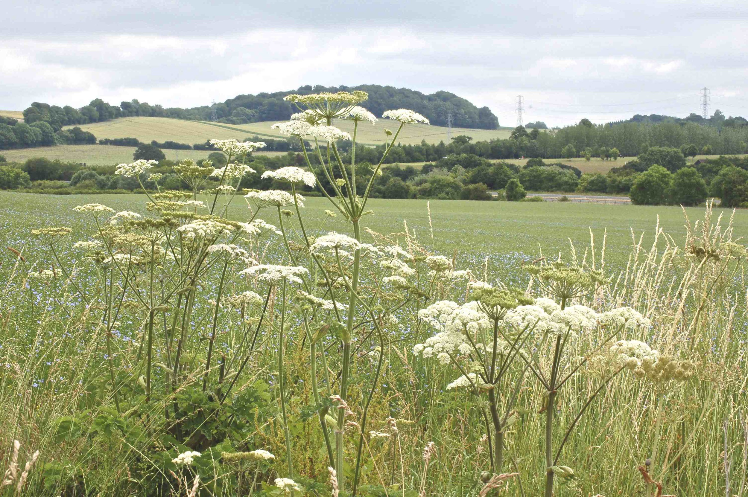Hogweed by linseed field