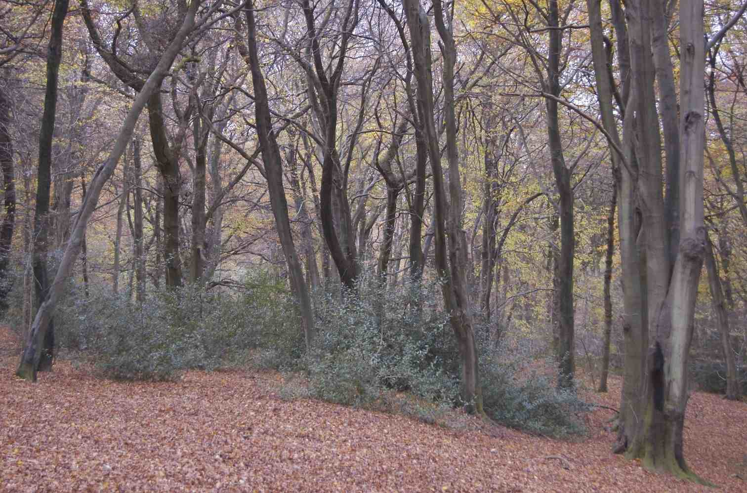 Woodland on Selborne Common 1