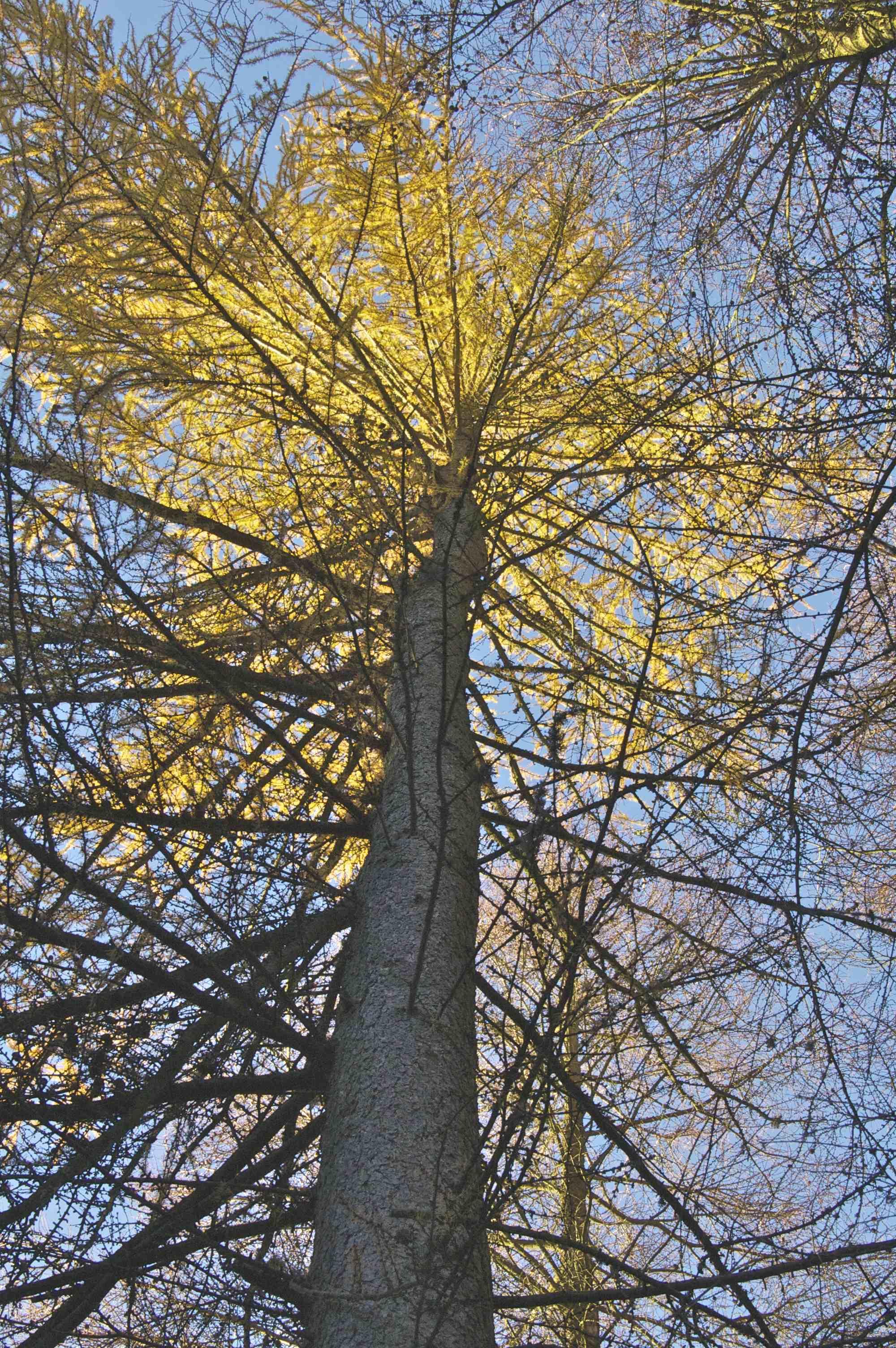 Larch Tree at Sunset