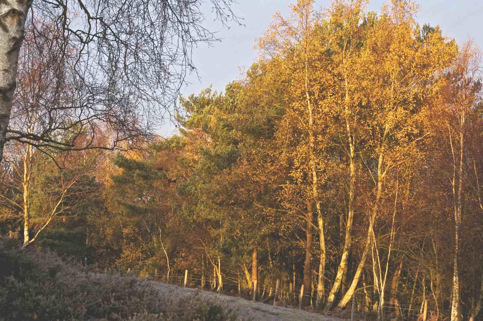 Sunrise on Longmoor Inclosure 2