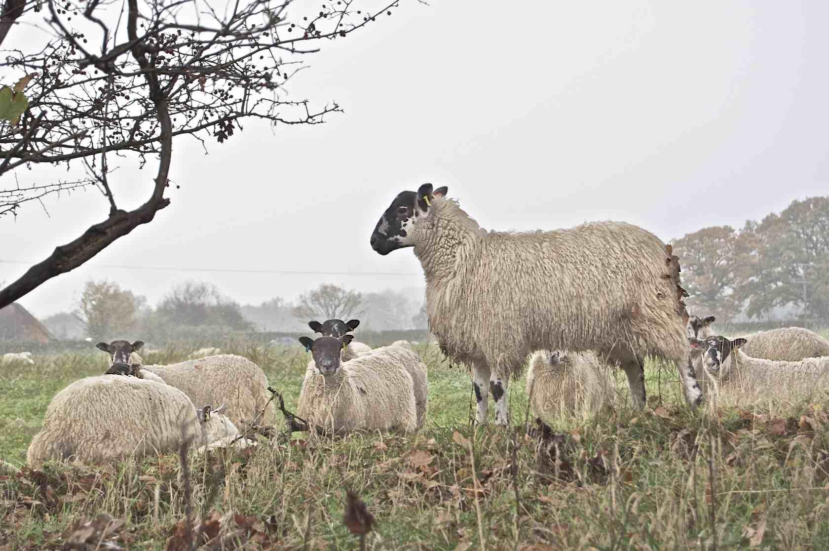 Sheep on Winter Pasture