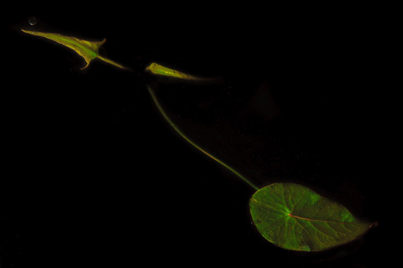 Victoria amazonica  seedling showing 3 juvenile leaf shapes.