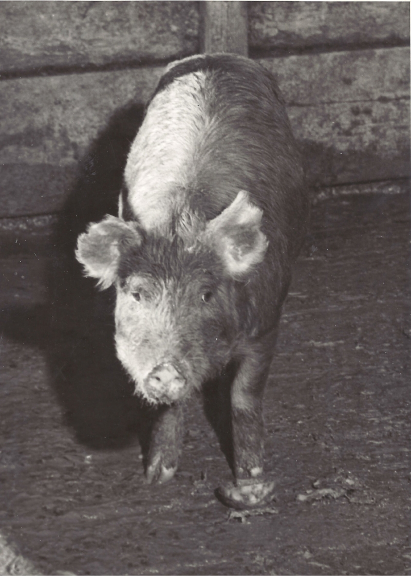 Solomon the Pig-Executed at S.Q. - 3-18-38.jpeg