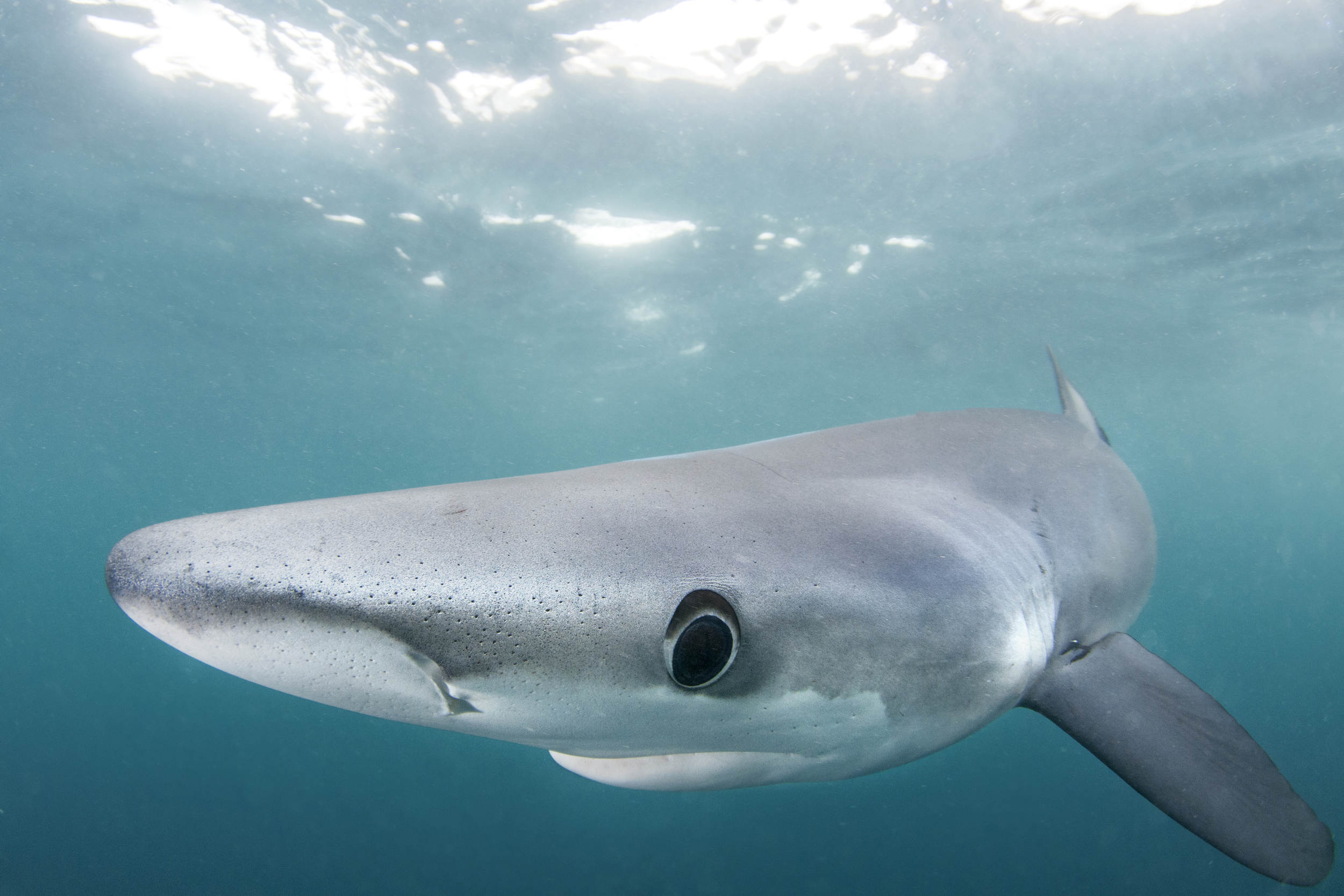Slow, and graceful, the blue sharks swim up with little speed and aggression...