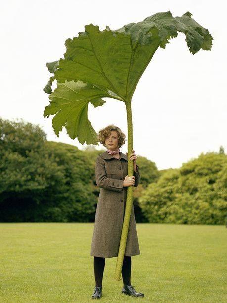 The amazing Gunnera Tinctora leaf. Image by Philip Newton.
