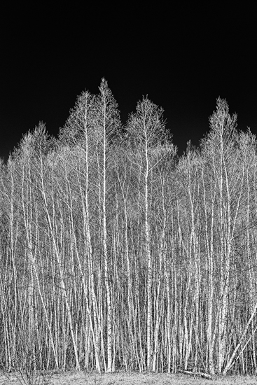 "Sarolta Gyoker  - ""Birches"""
