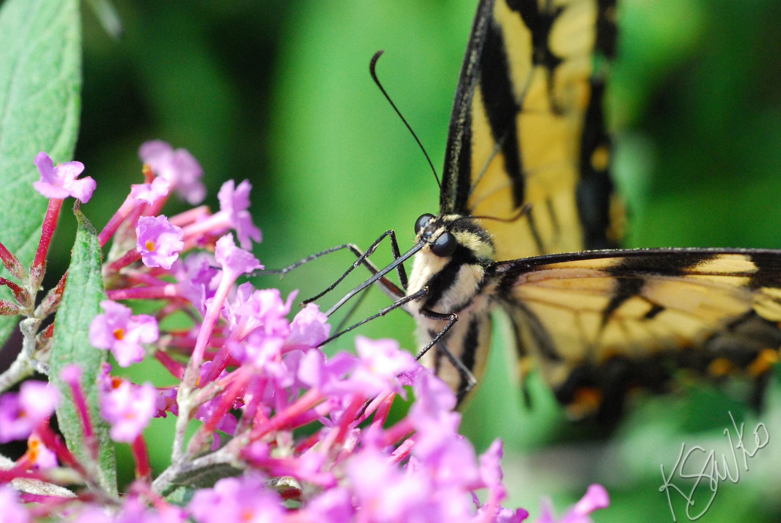 savko_swallowtail.jpg